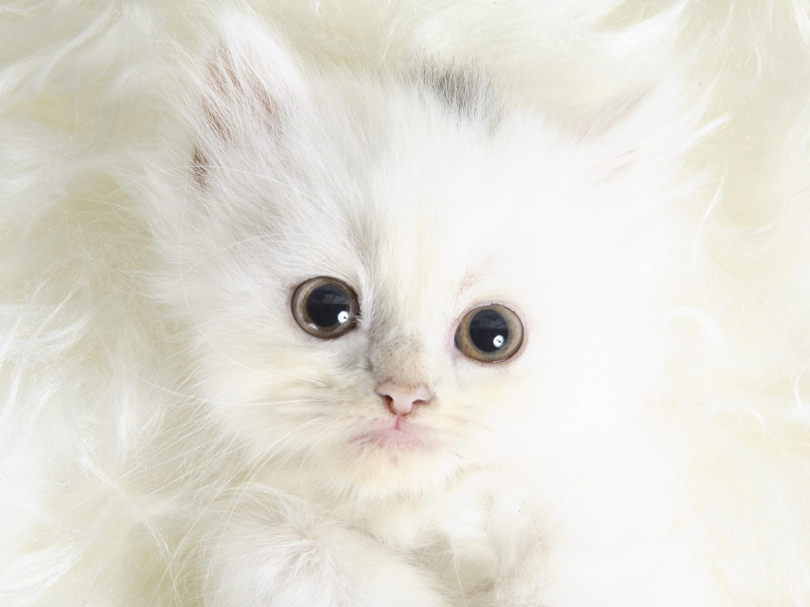 15955 download wallpaper Animals, Cats screensavers and pictures for free