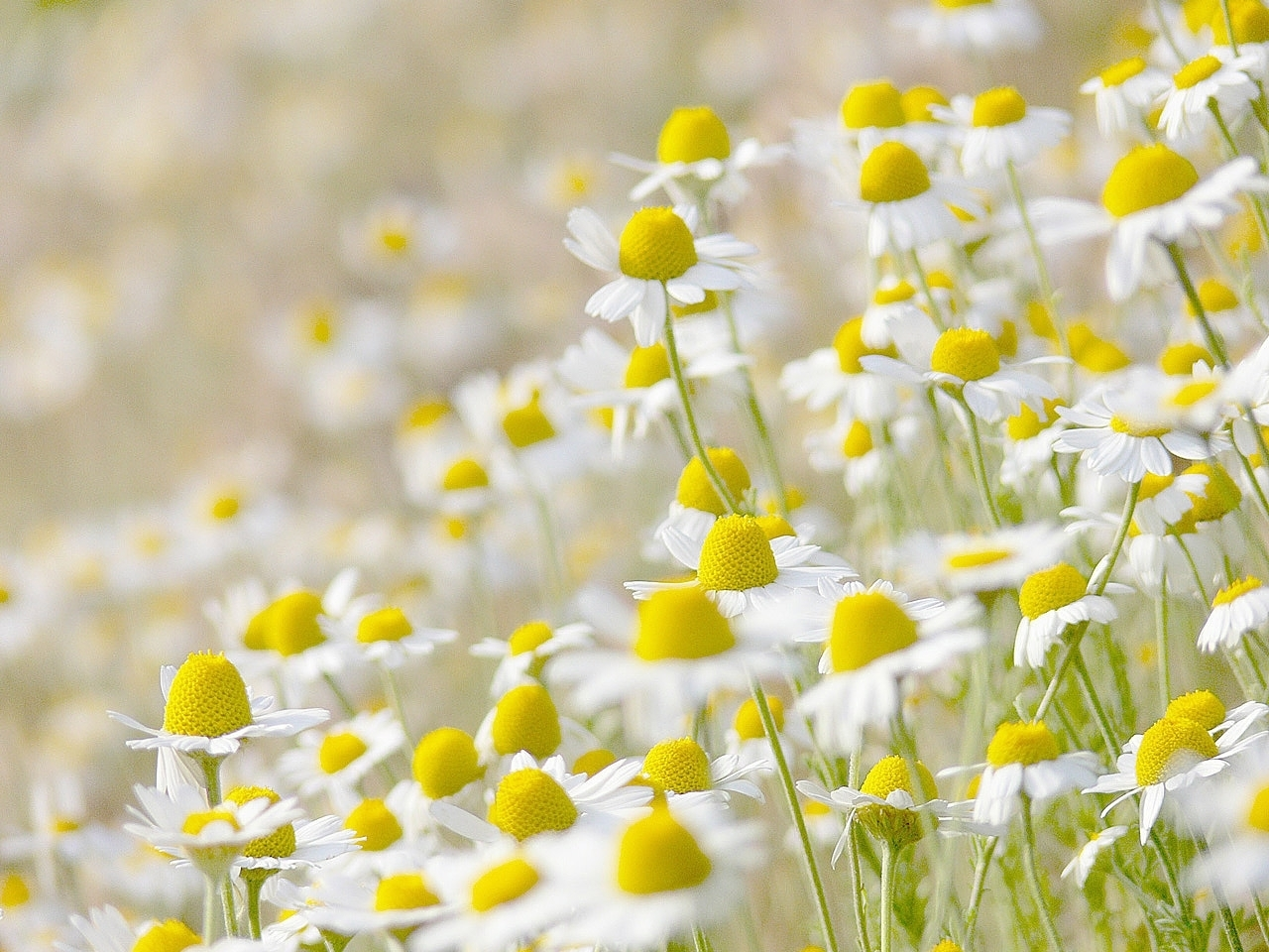 47766 download wallpaper Plants, Flowers, Camomile screensavers and pictures for free