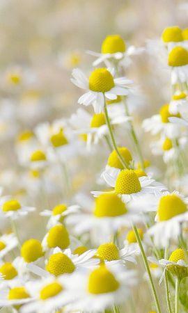 47766 télécharger le fond d'écran Plantes, Fleurs, Camomille - économiseurs d'écran et images gratuitement
