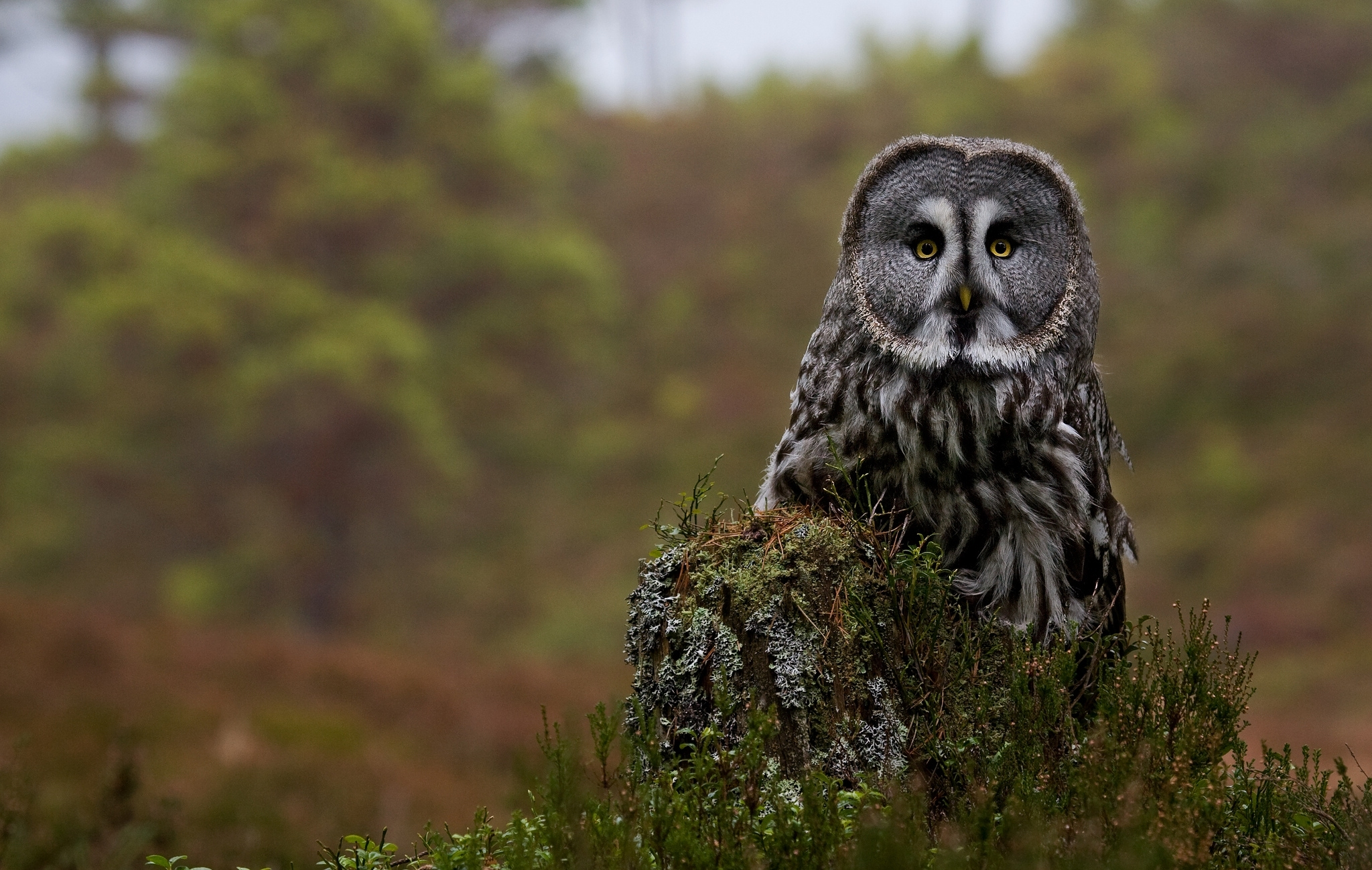 151926 Screensavers and Wallpapers Owl for phone. Download Animals, Great Gray Owl, Bearded Obscure, Owl, Predator, Forest, Stump pictures for free