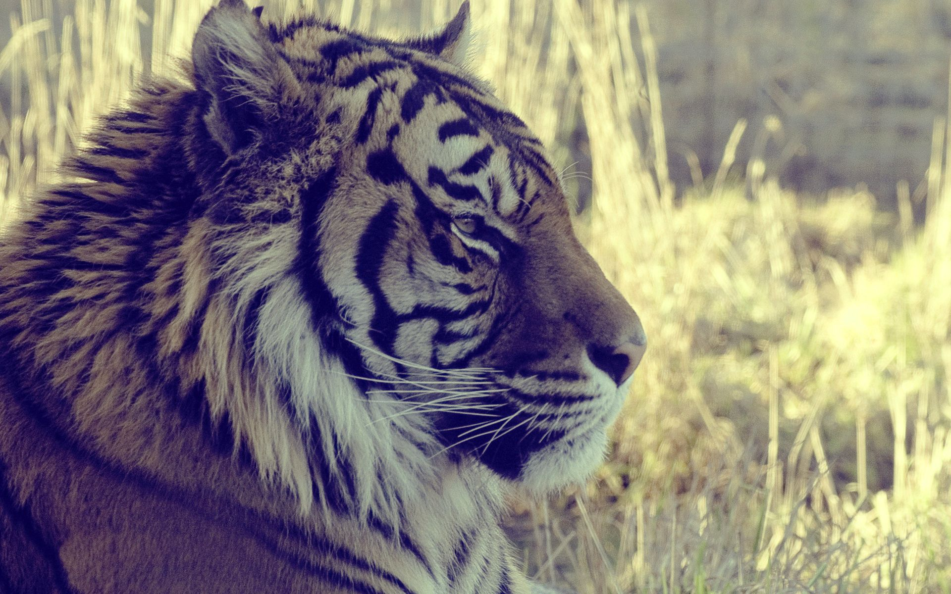 81443 скачать обои Животные, Тигр, Морда, Профиль, Свет - заставки и картинки бесплатно