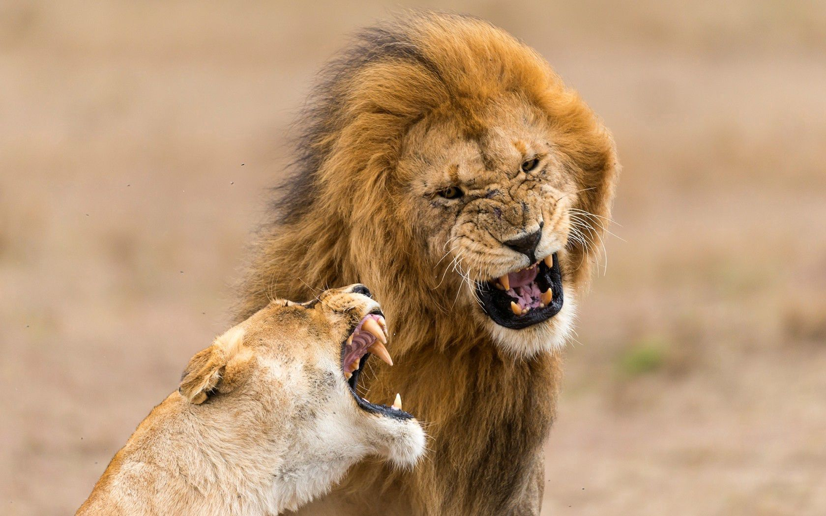 96444 download wallpaper Animals, Lion, Lioness, Aggression, Grin screensavers and pictures for free