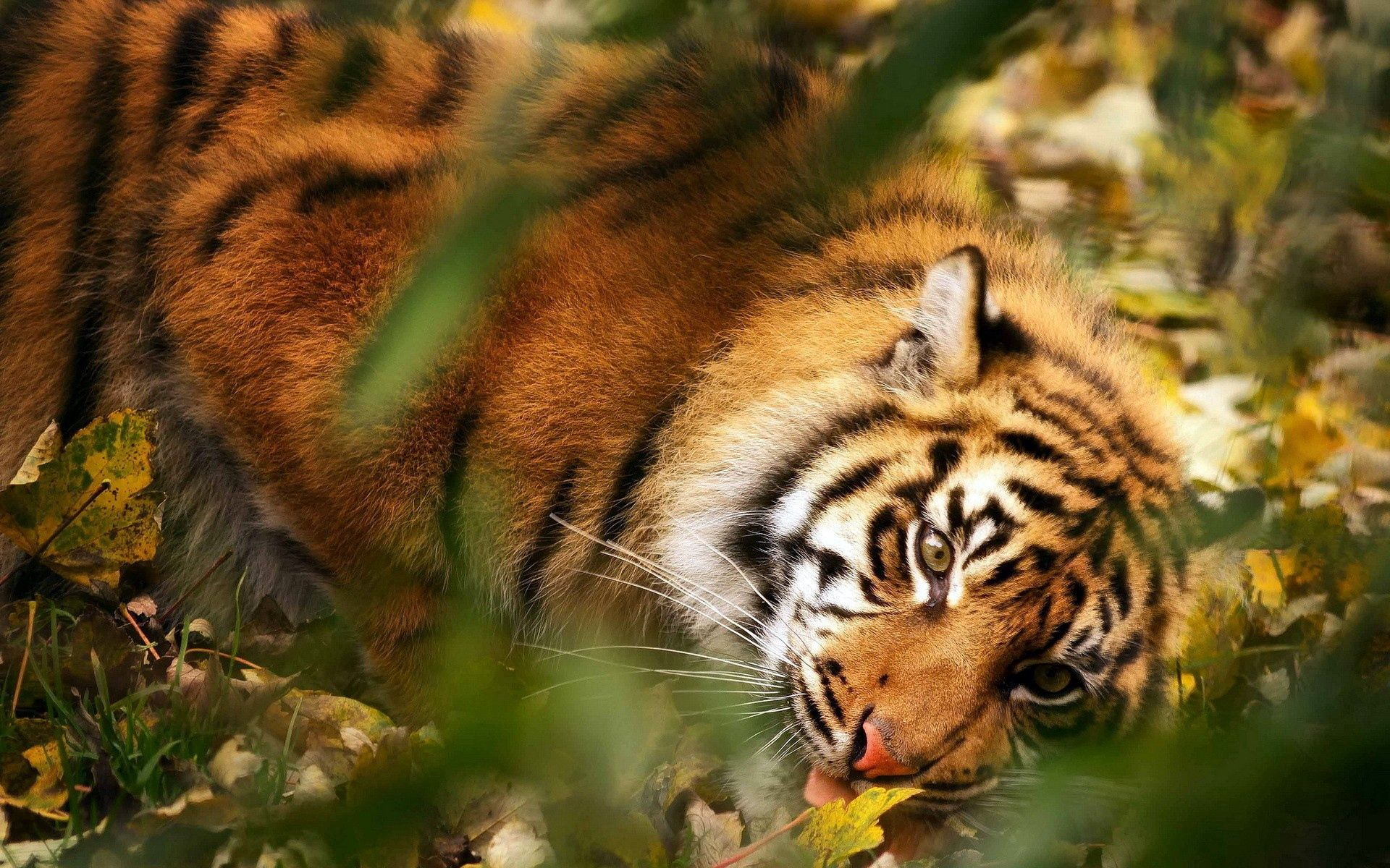 106400 download wallpaper Animals, Tiger, Big Cat, Muzzle, Predator, Grass, Leaves, Blur, Smooth screensavers and pictures for free