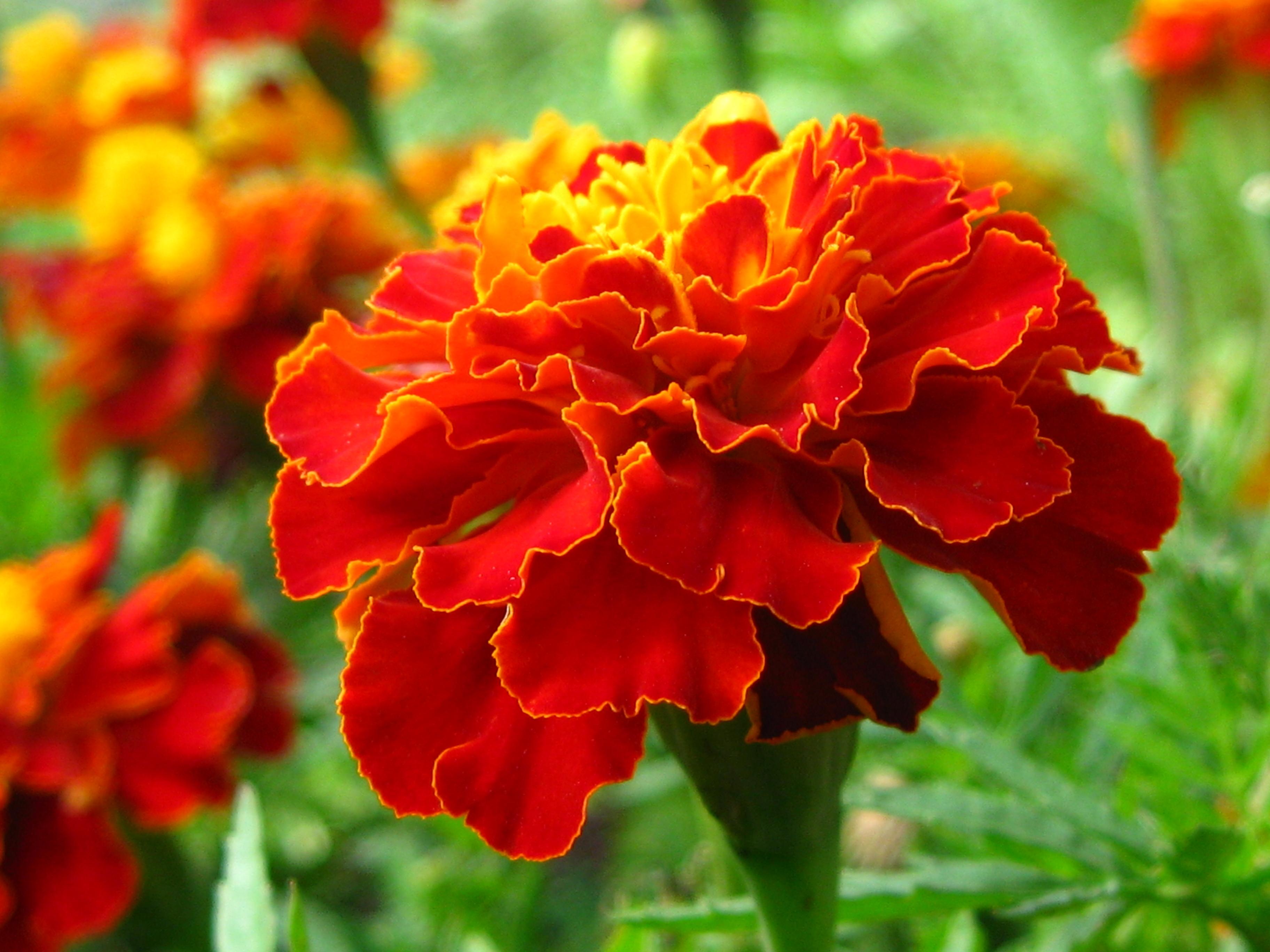 21831 скачать обои Растения, Цветы, Гвоздики - заставки и картинки бесплатно