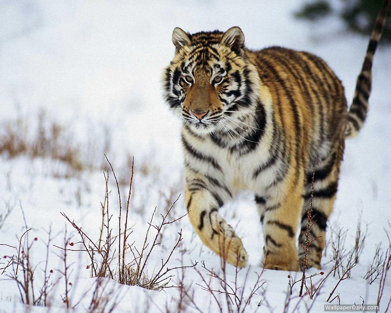 5615 descargar fondo de pantalla Animales, Tigres: protectores de pantalla e imágenes gratis