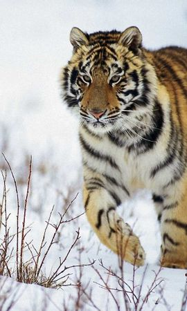 5615 download wallpaper Animals, Tigers screensavers and pictures for free