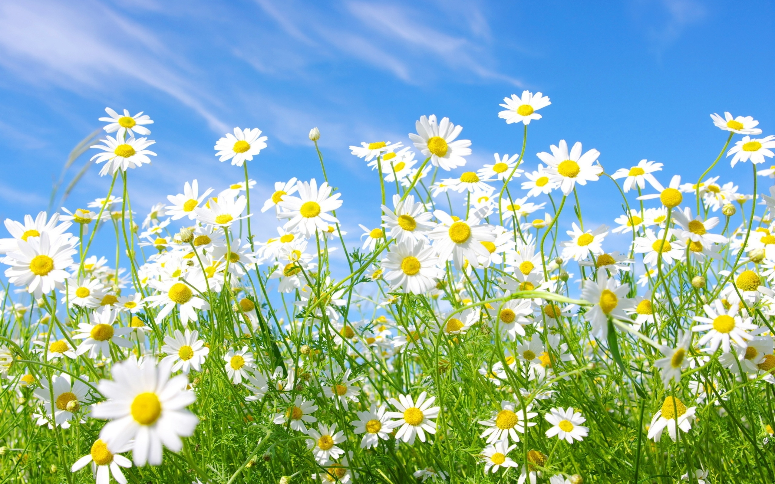 43981 download wallpaper Plants, Flowers, Camomile screensavers and pictures for free