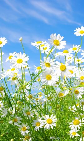 43981 скачать обои Растения, Цветы, Ромашки - заставки и картинки бесплатно