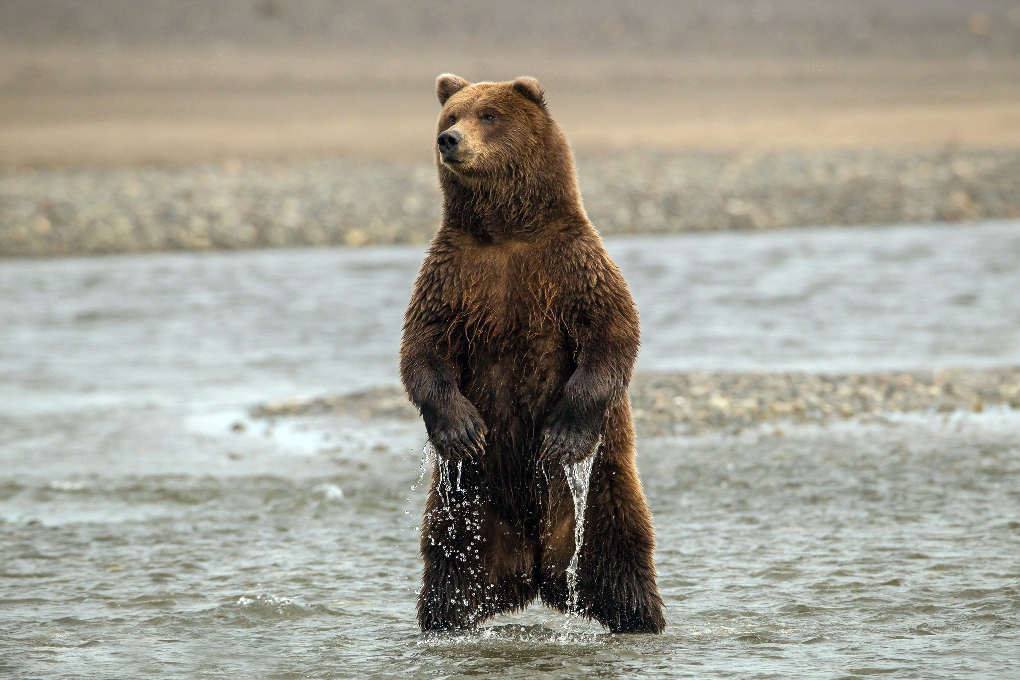 126310 Screensavers and Wallpapers Bear for phone. Download Animals, Sea, Wet, Bear, To Stand, Stand pictures for free