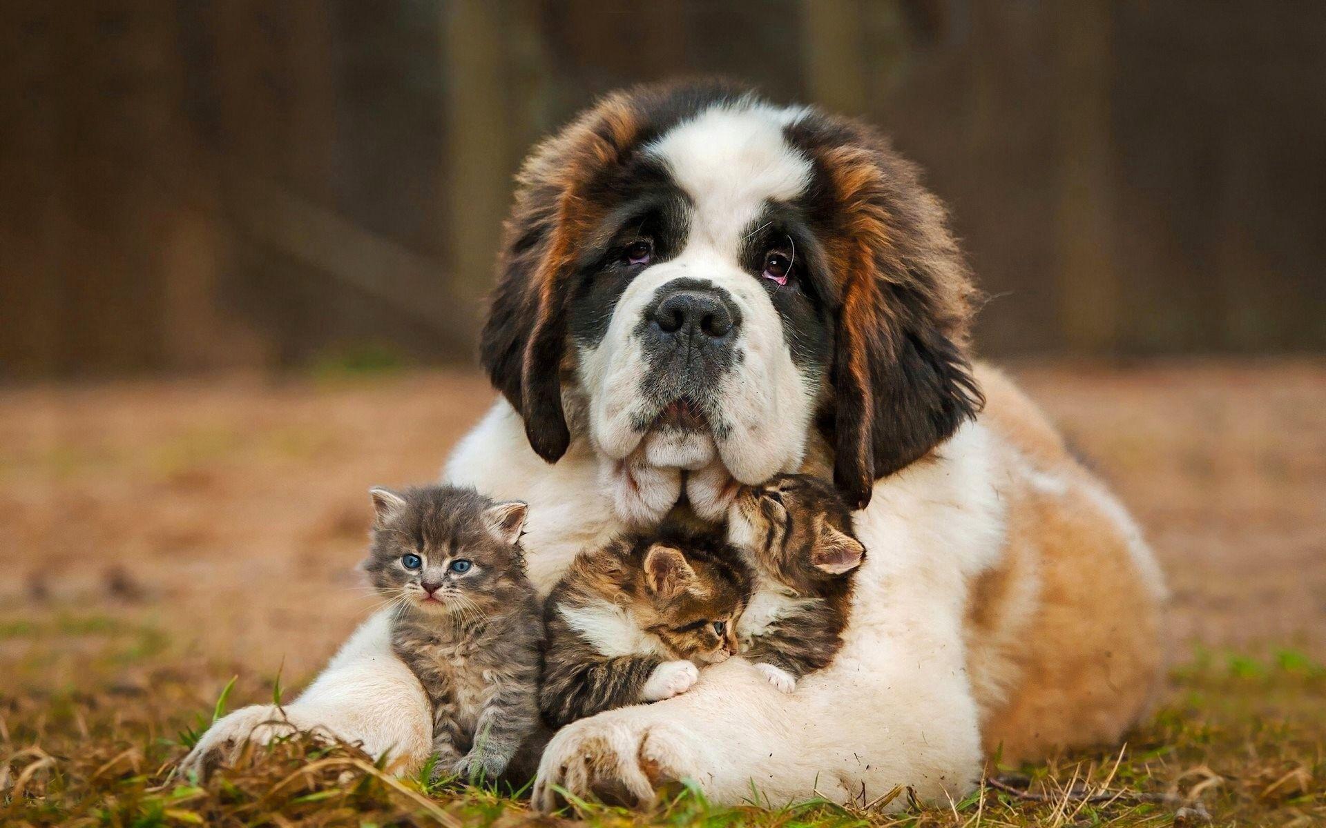 81450 скачать обои Животные, Собака, Сенбернар, Котята - заставки и картинки бесплатно