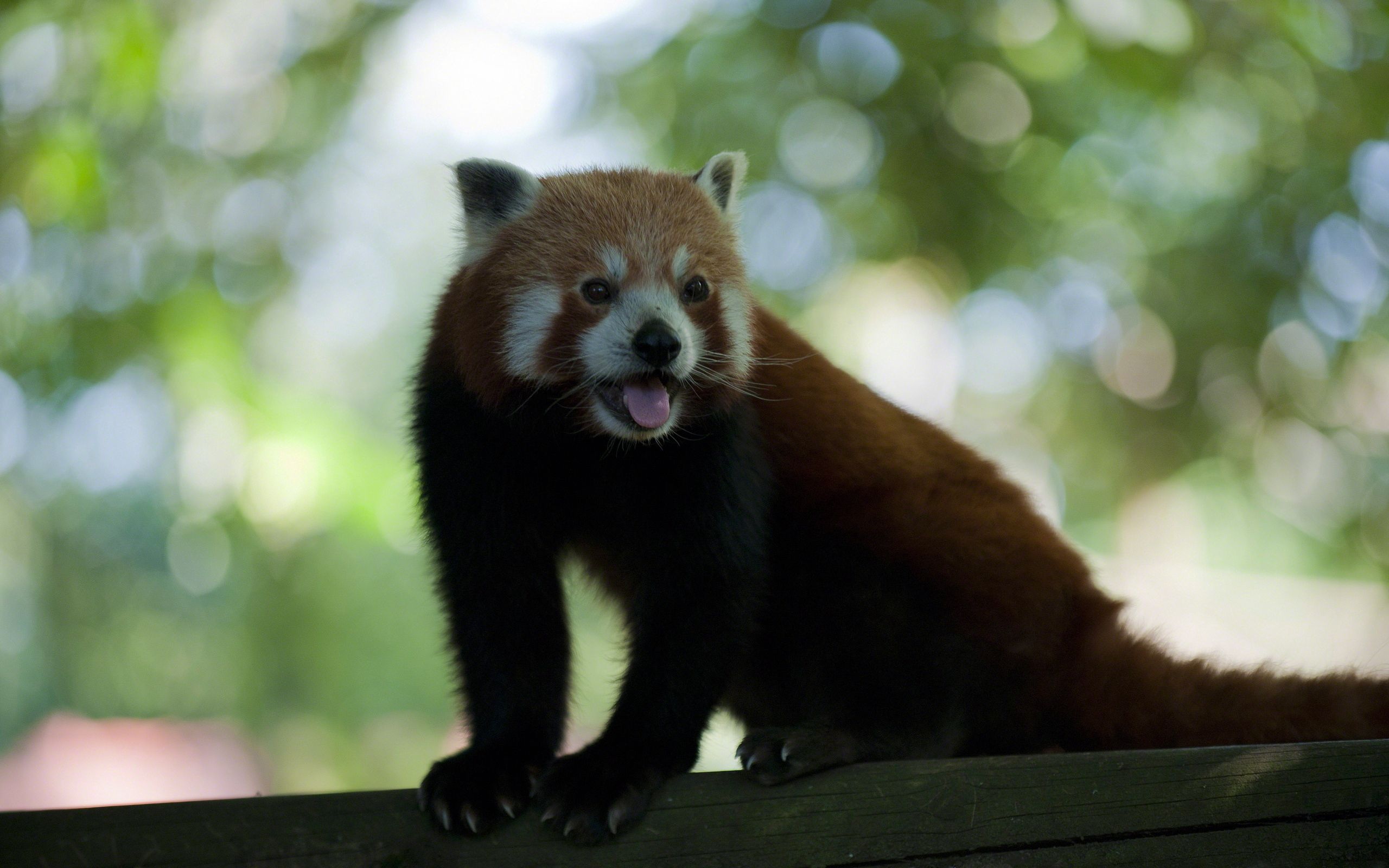 117475 download wallpaper Animals, Ears, Tail, Claws, Panda, Fur, Mustache, Moustache, Language, Tongue screensavers and pictures for free