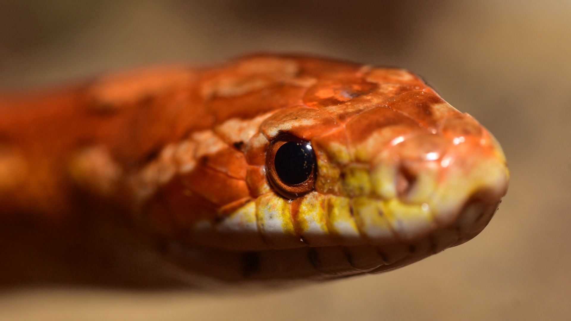 70298 download wallpaper Animals, Snake, Boa, Reptile, Eyes screensavers and pictures for free