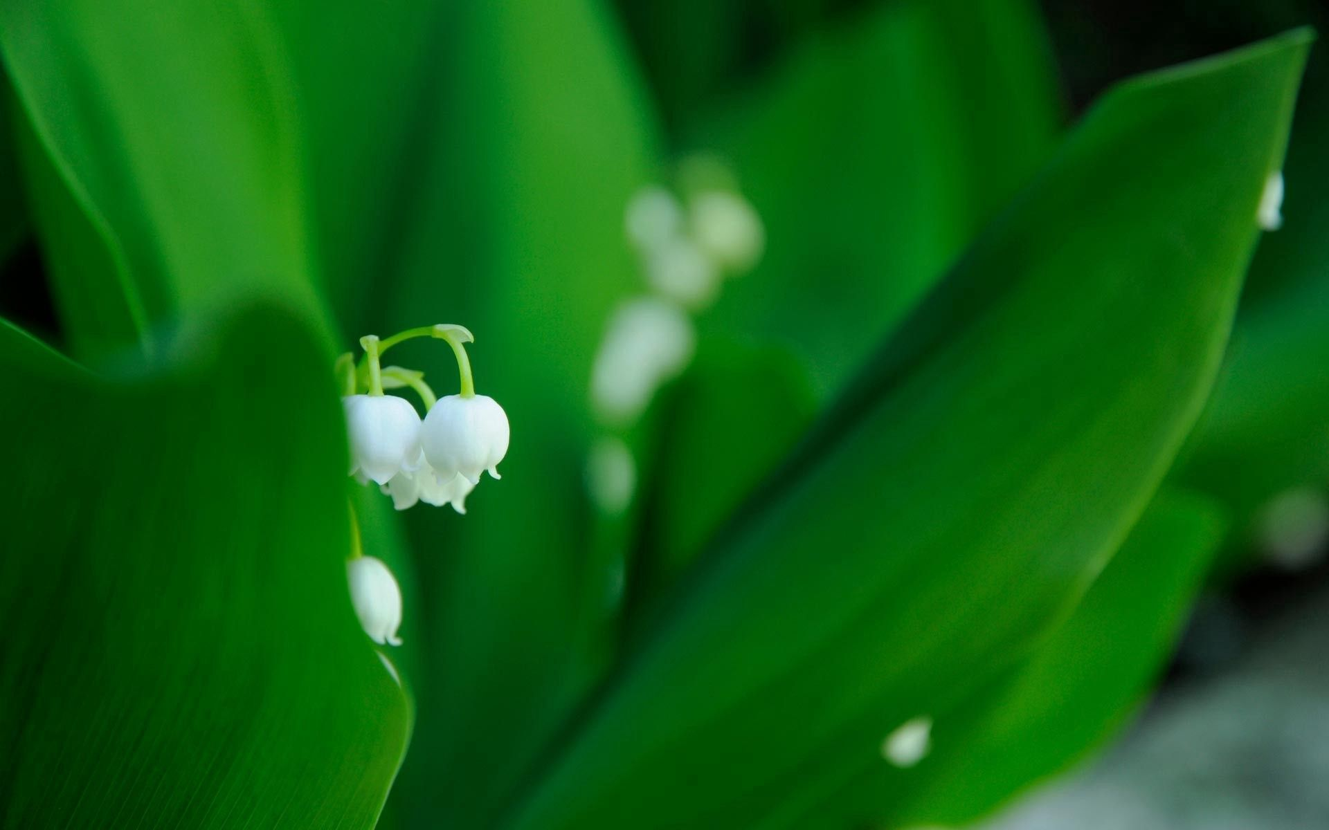 95266 download wallpaper Macro, Leaves, Grass, Plant, Flowers, Lily Of The Valley screensavers and pictures for free
