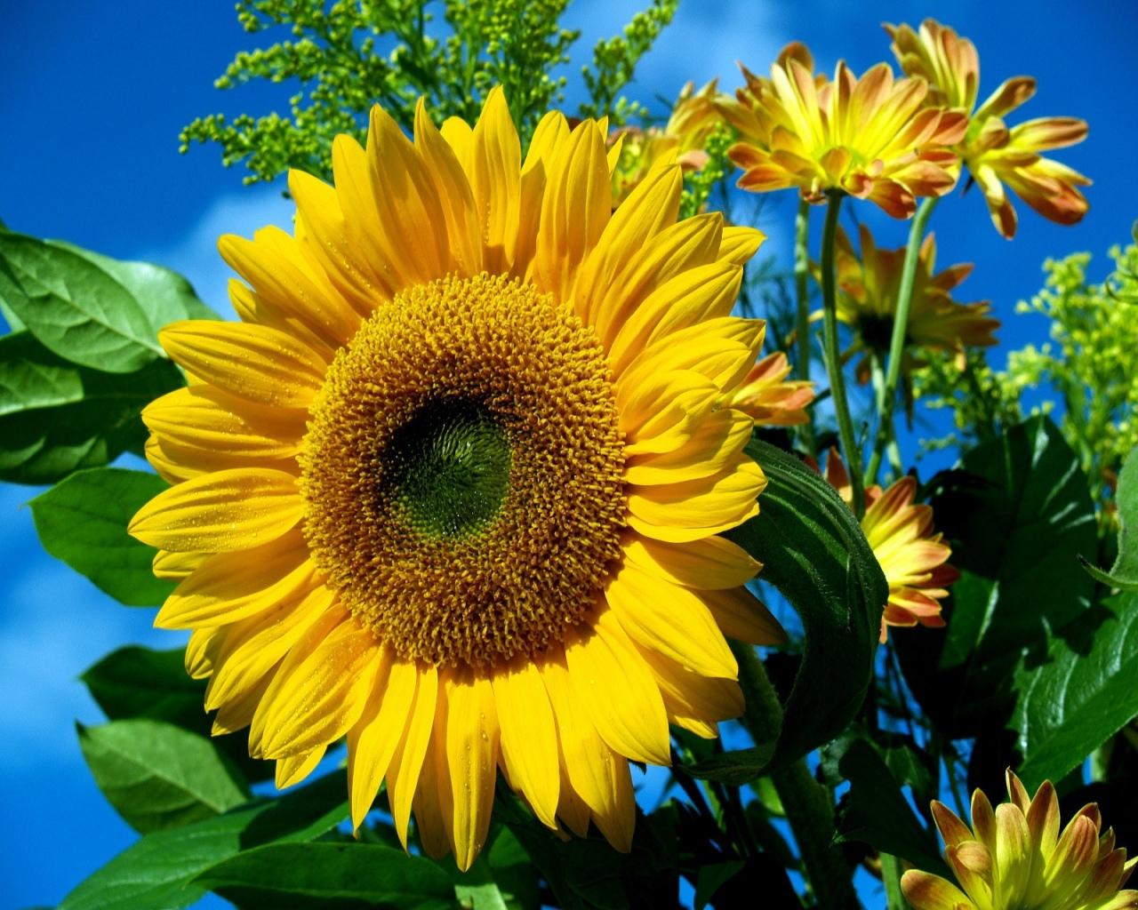 14593 скачать обои Растения, Цветы, Подсолнухи - заставки и картинки бесплатно