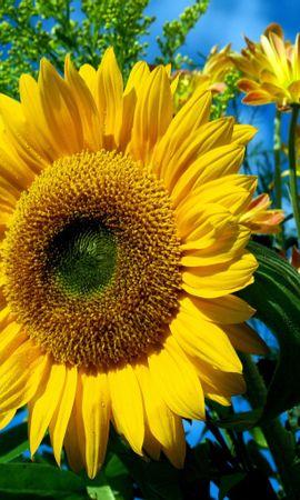 14593 télécharger le fond d'écran Plantes, Fleurs, Tournesols - économiseurs d'écran et images gratuitement