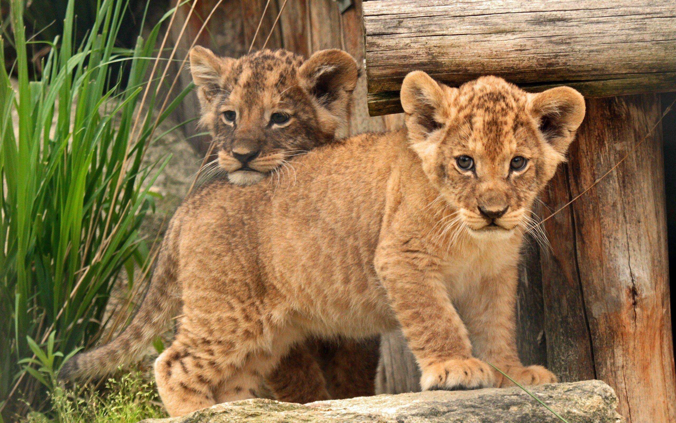 56440 Hintergrundbild herunterladen Tiere, Kinder, Junge, Ein Löwe, Löwe, Joey, Kleinkinder, Löwenjunges - Bildschirmschoner und Bilder kostenlos