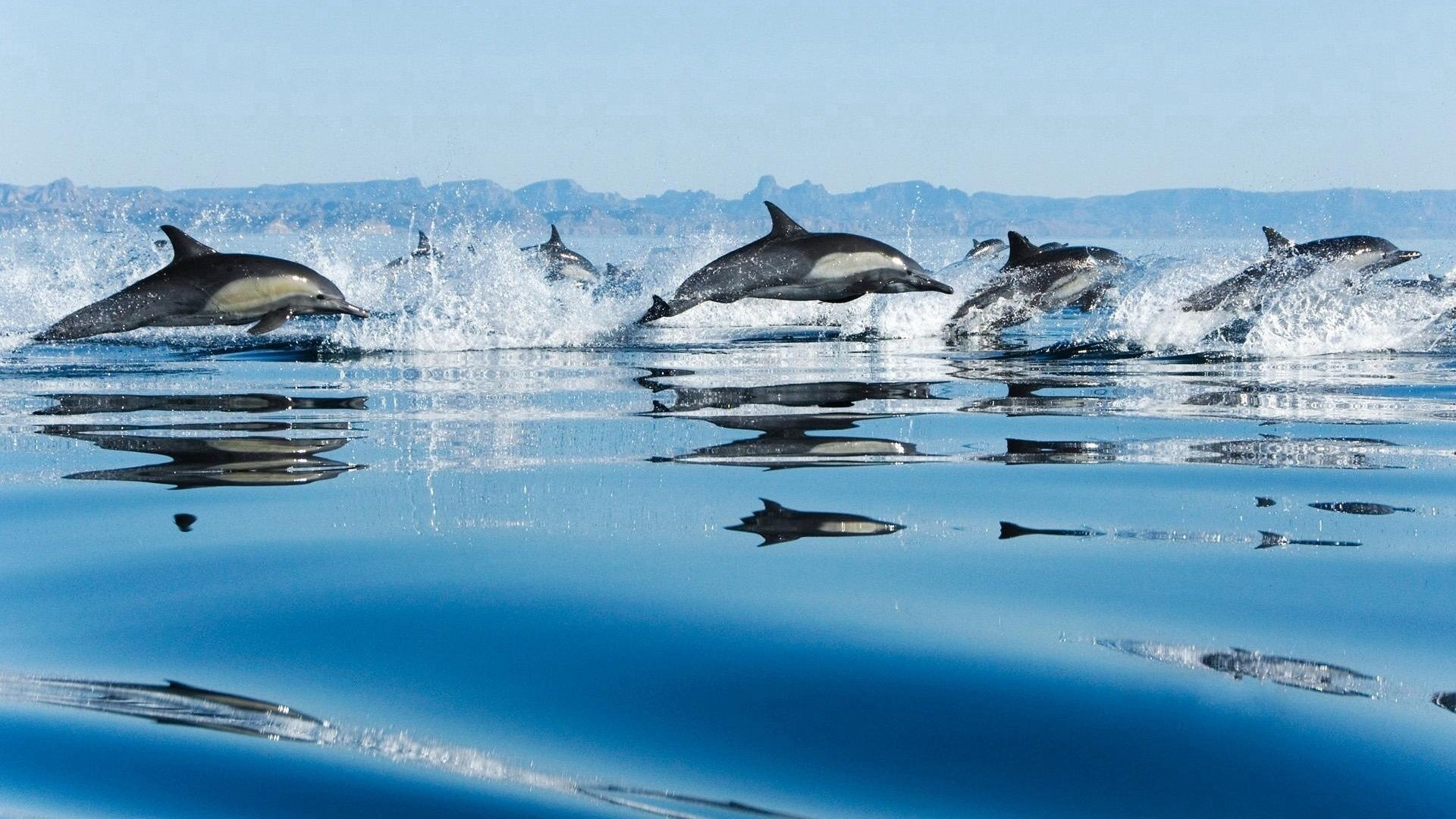 64517 download wallpaper Animals, Dolfins, Water Surface, Bounce, Jump screensavers and pictures for free