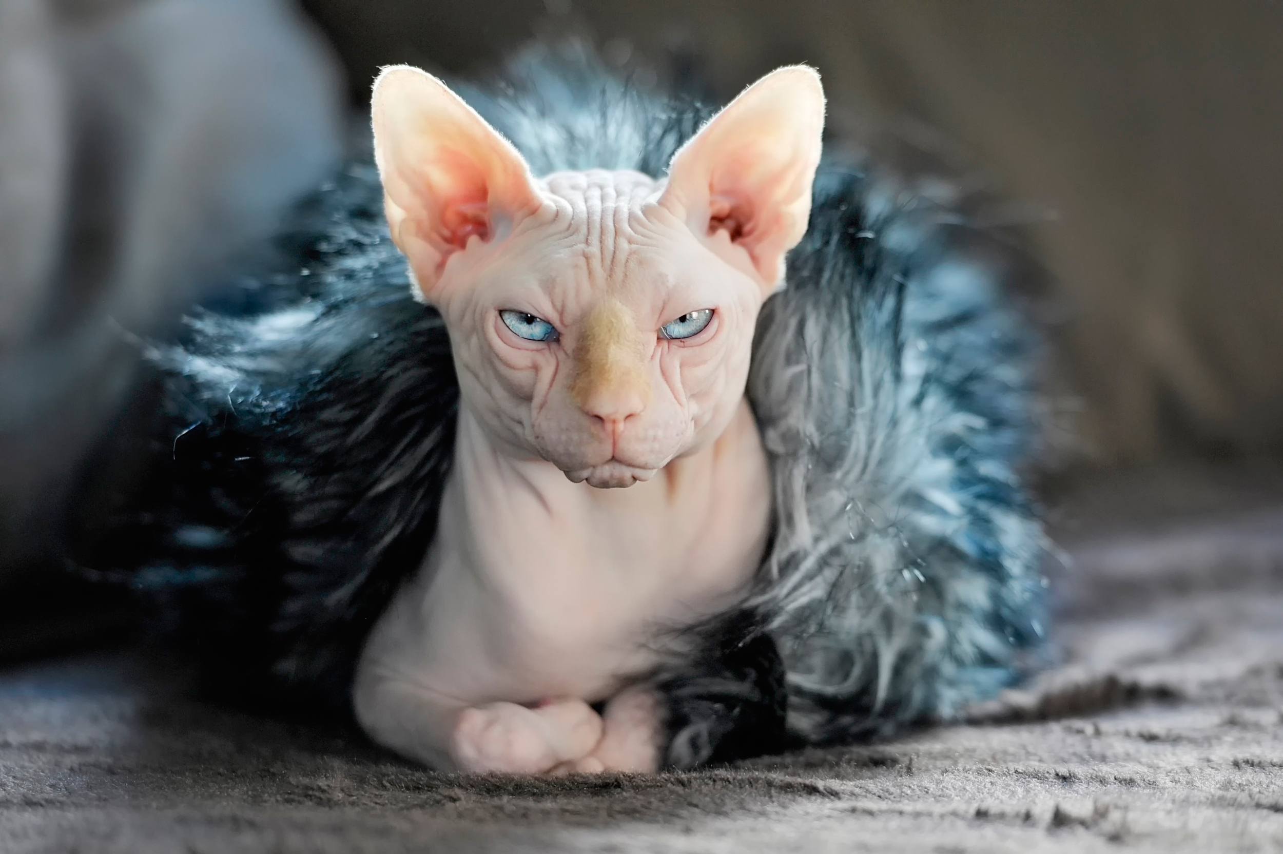 77417 download wallpaper Animals, Sphinx, Cat, Fur screensavers and pictures for free