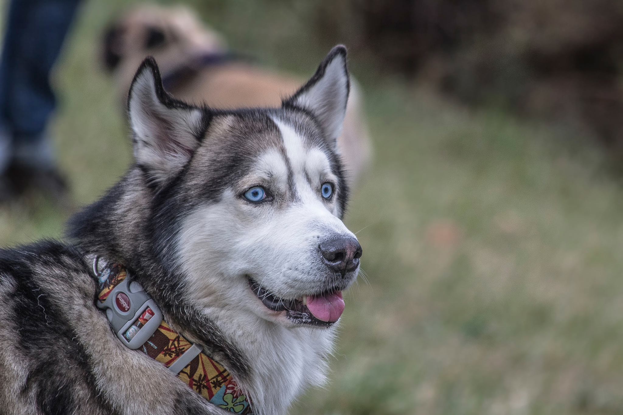 66653 Screensavers and Wallpapers Husky for phone. Download Animals, Dog, Muzzle, Husky, Collar pictures for free