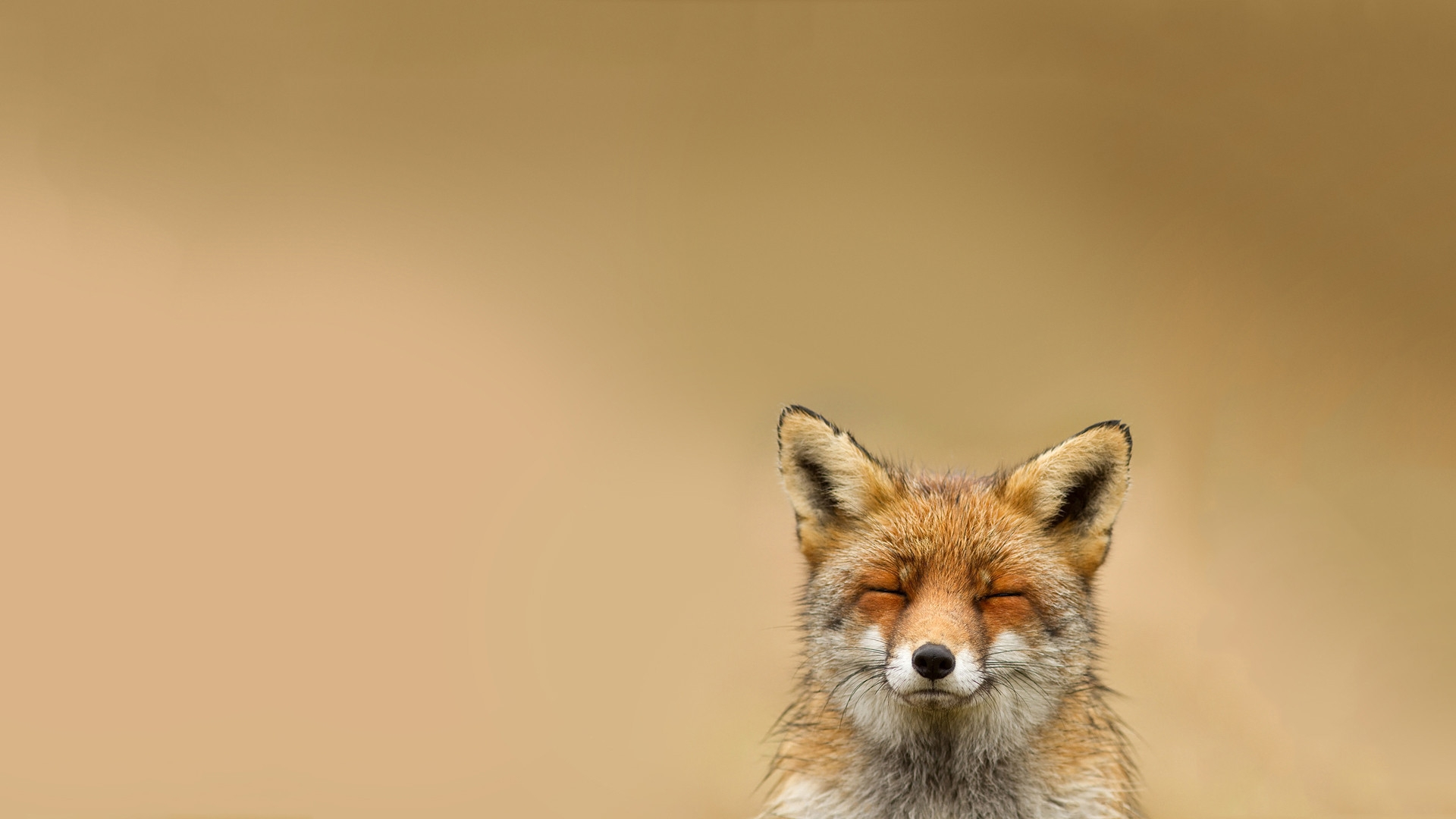 36643 download wallpaper Animals, Fox screensavers and pictures for free