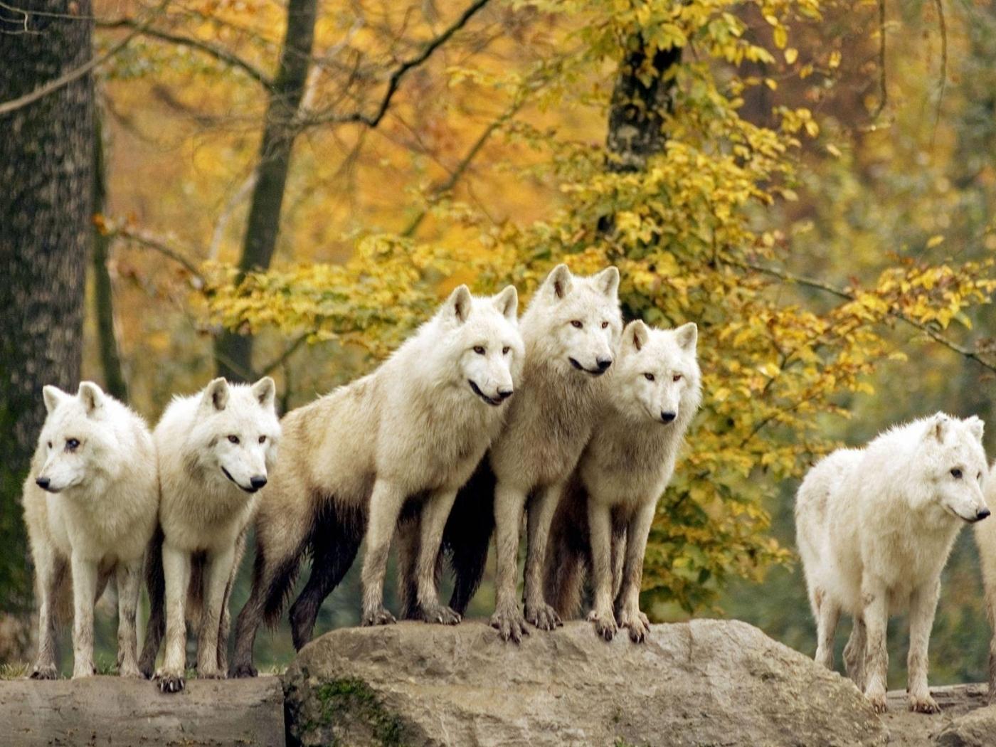 48804 économiseurs d'écran et fonds d'écran Loups sur votre téléphone. Téléchargez Loups, Animaux images gratuitement