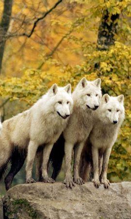 48804 baixar papel de parede Animais, Lobos - protetores de tela e imagens gratuitamente