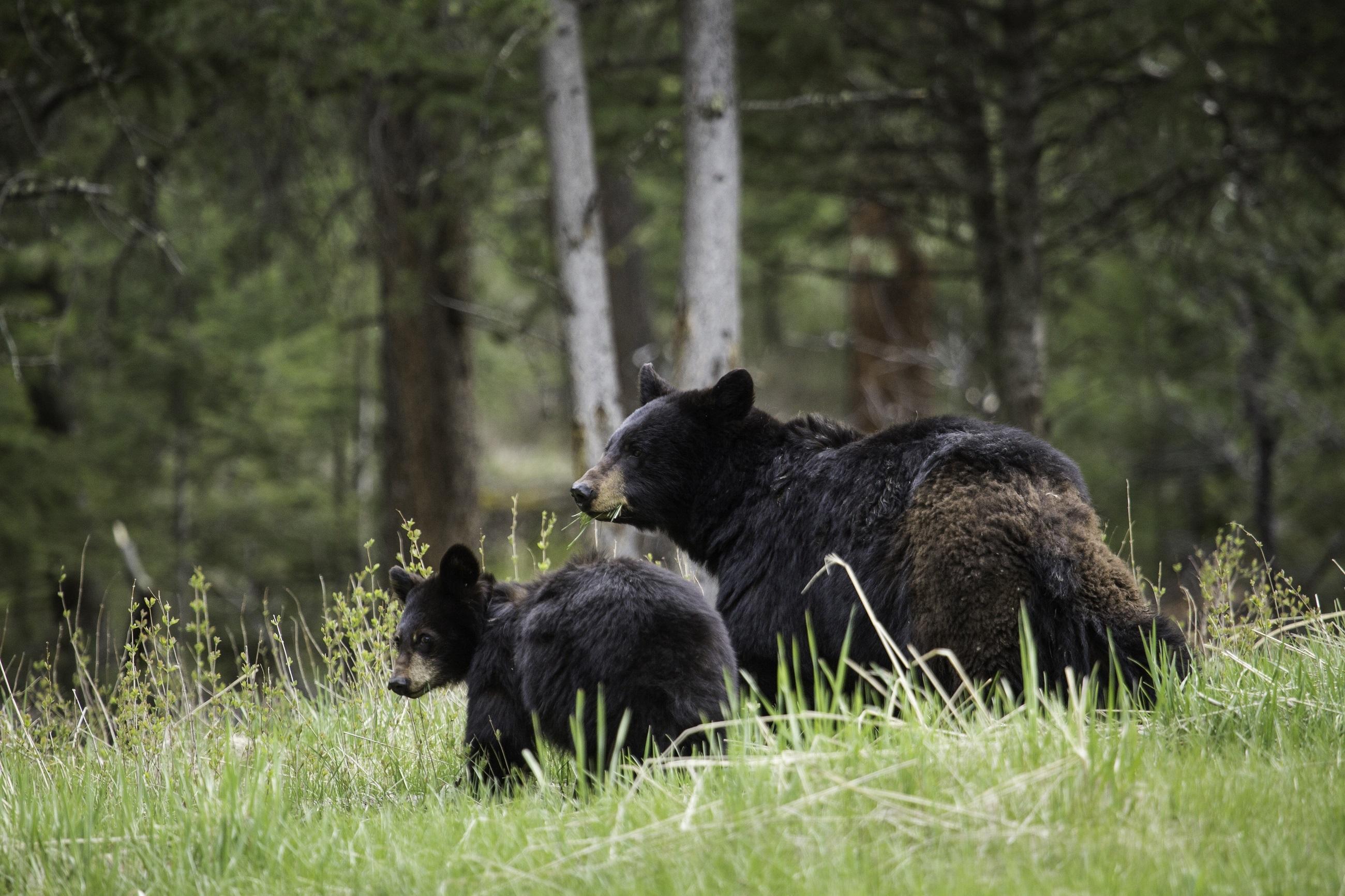 133842 Заставки и Обои Медведи на телефон. Скачать Животные, Медведи, Пара, Прогулка, Семья, Детеныш картинки бесплатно