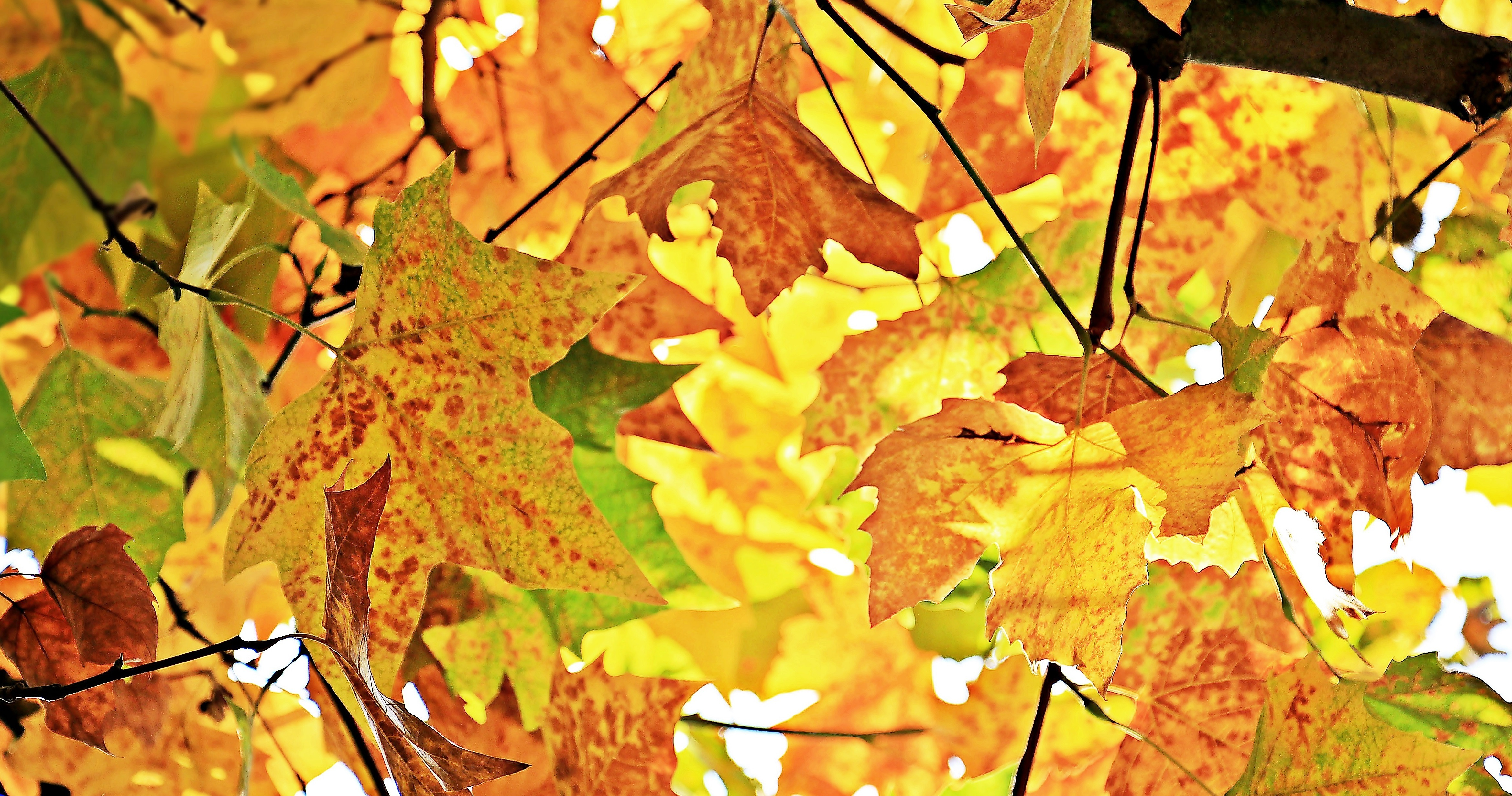 120943 download wallpaper Nature, Autumn, Foliage, Branches, Wood, Tree, Maple screensavers and pictures for free