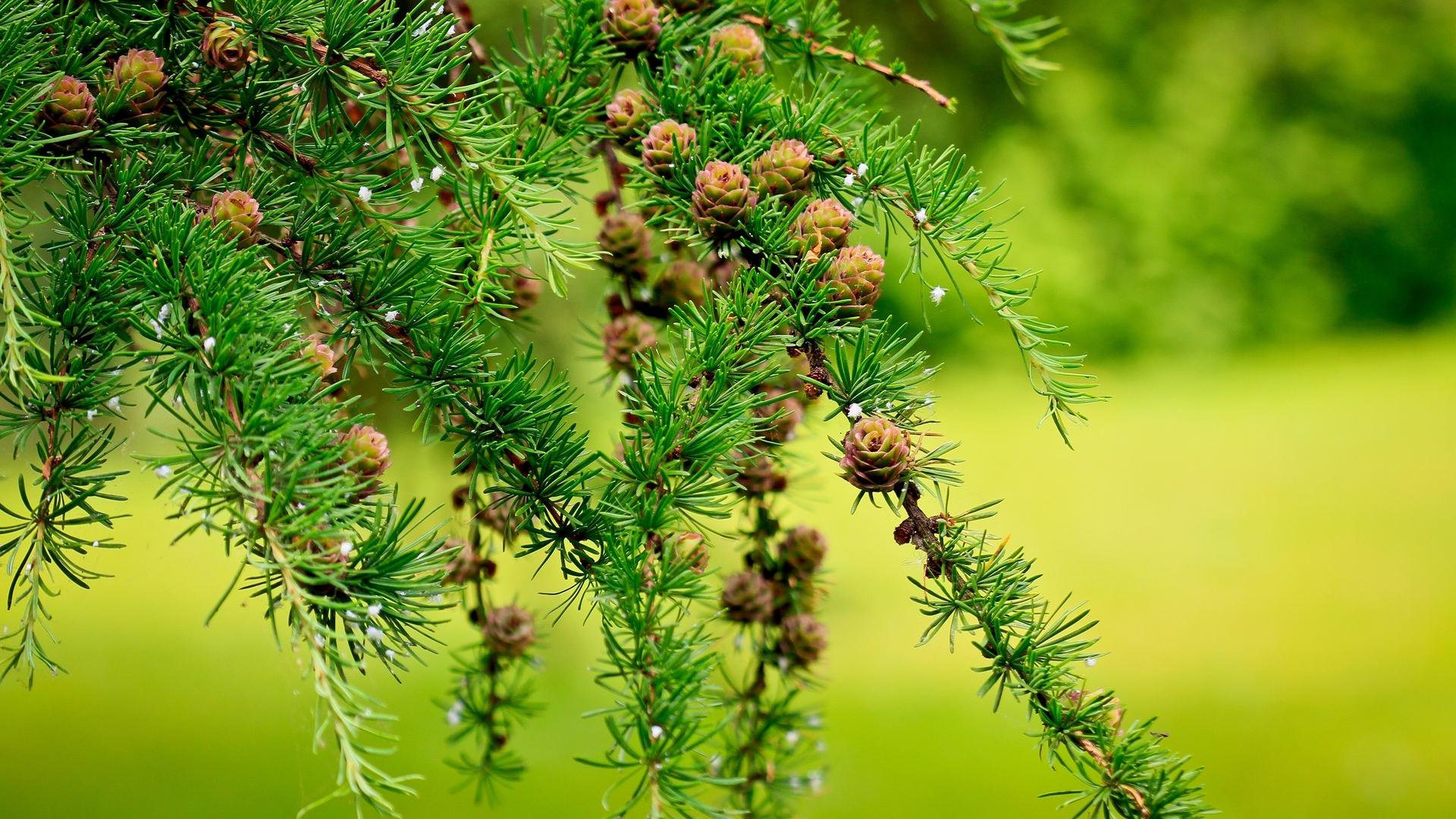 24012 скачать обои Растения, Деревья, Шишки - заставки и картинки бесплатно