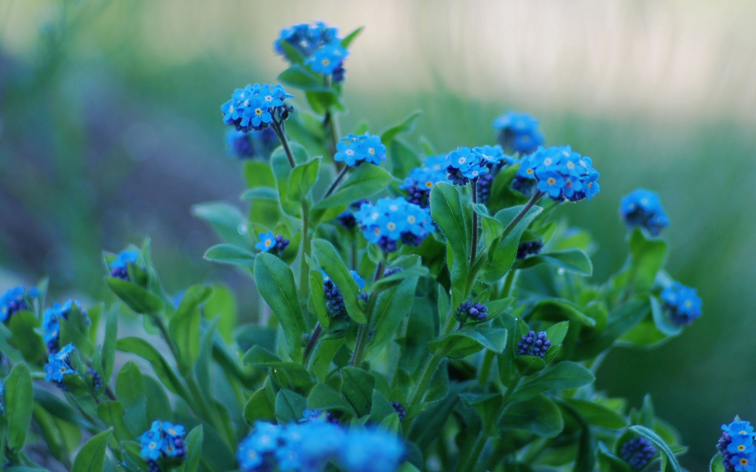 109249 free download Blue wallpapers for phone, Macro, Leaves, Petals, Forget-Me-Nots, Flowers Blue images and screensavers for mobile