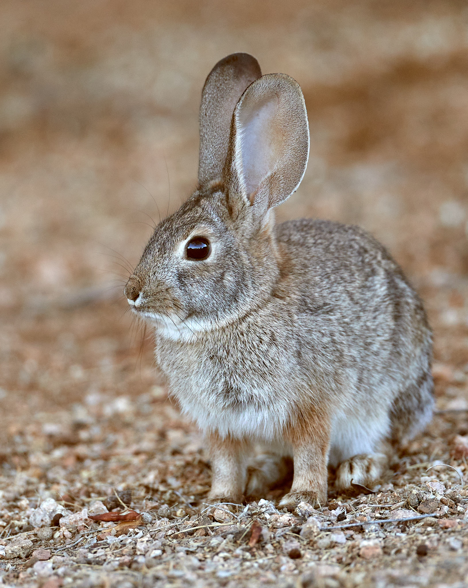 138781 download wallpaper Animals, Rabbit, Animal, Grey, Wild, Nice, Sweetheart screensavers and pictures for free
