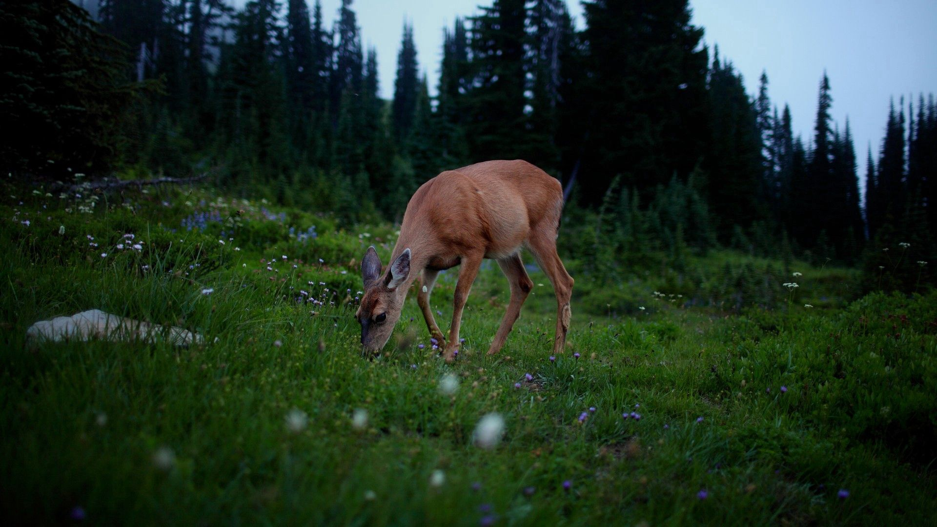 157276 download wallpaper Animals, Deer, Forest, Grass, Stroll, Dark screensavers and pictures for free