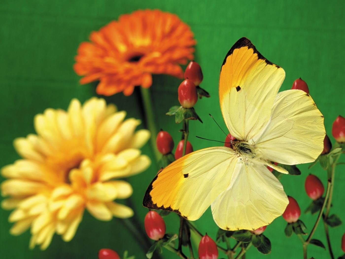 43432 скачать обои Растения, Бабочки, Цветы - заставки и картинки бесплатно