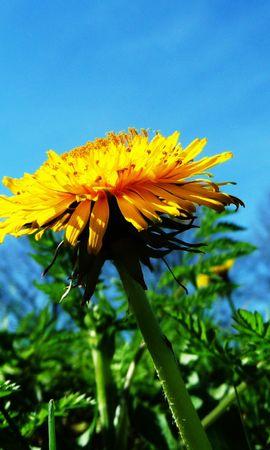 43041 télécharger le fond d'écran Plantes, Fleurs, Pissenlits - économiseurs d'écran et images gratuitement