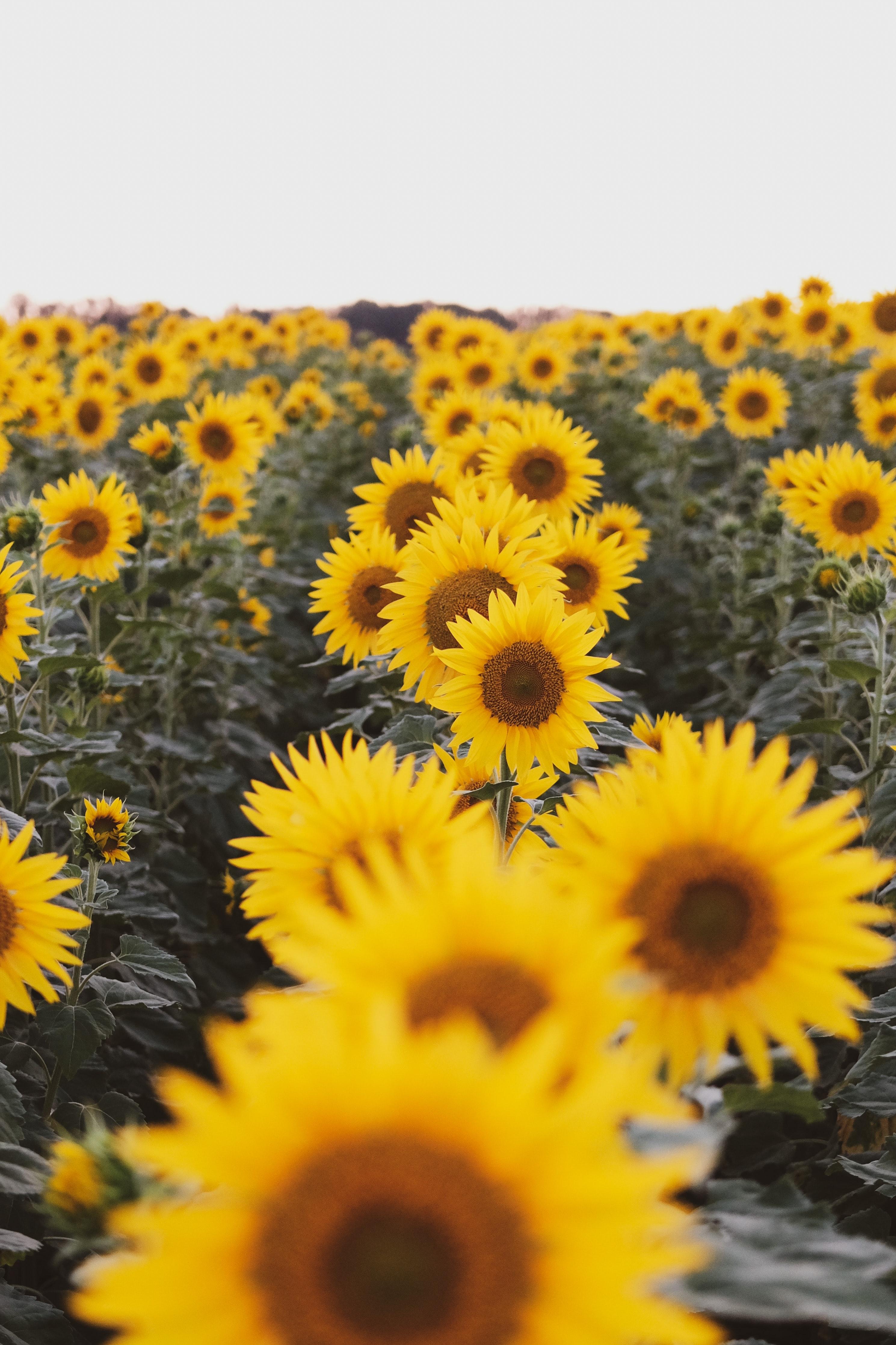 140848 скачать обои Цветы, Поле, Желтый, Подсолнухи - заставки и картинки бесплатно