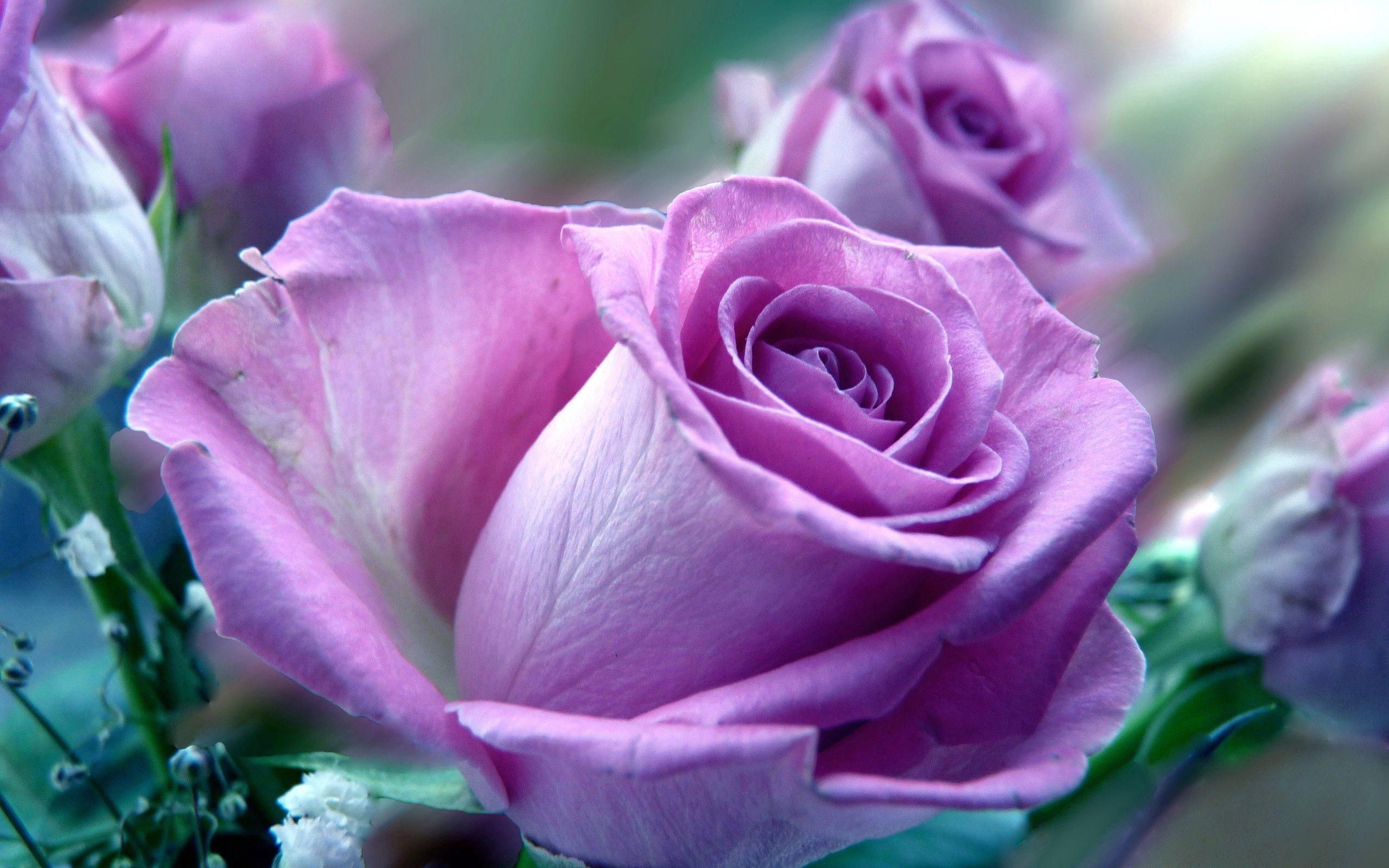 75159 скачать обои Природа, Роза, Цветок, Макро - заставки и картинки бесплатно