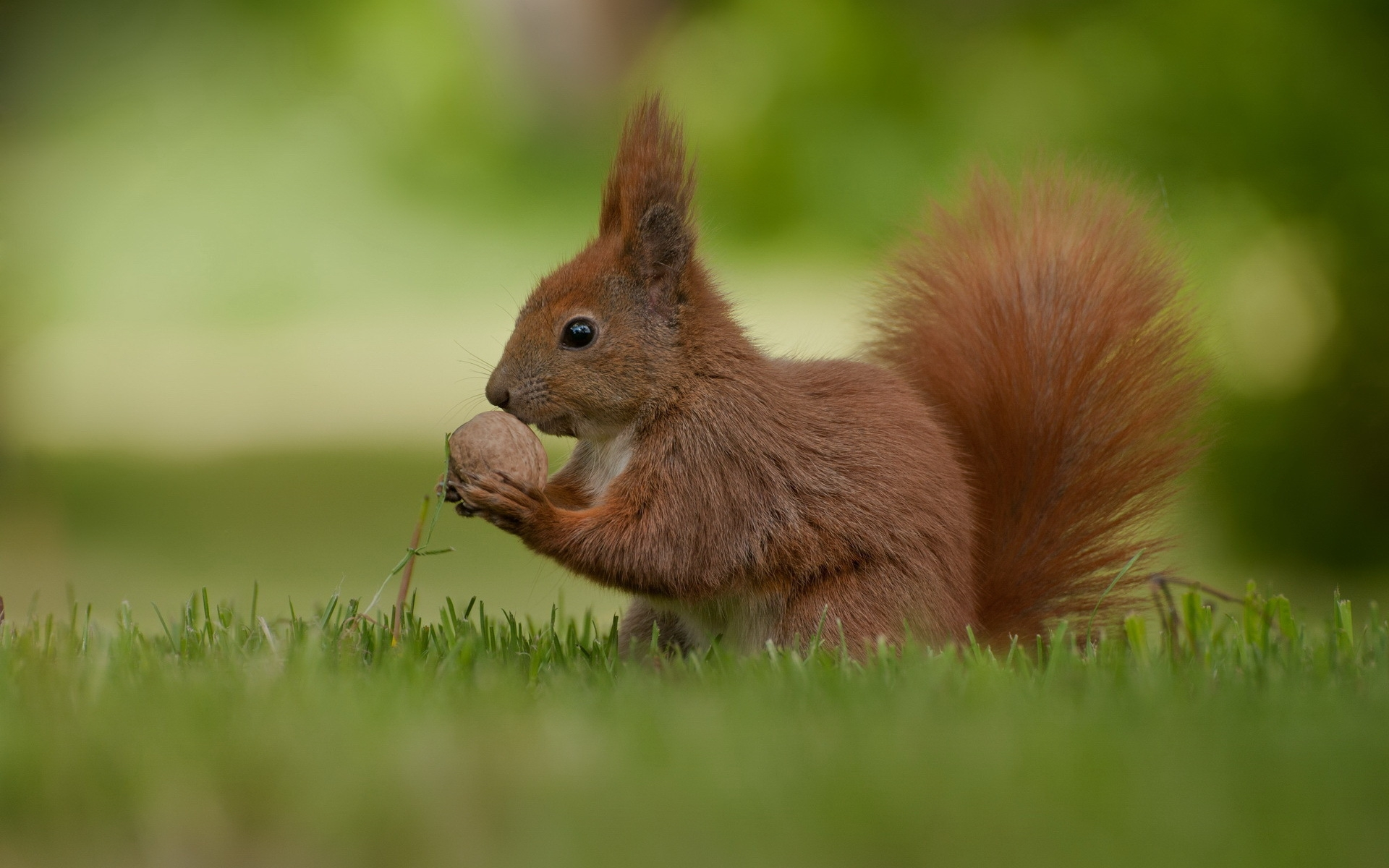 35859 download wallpaper Animals, Squirrel screensavers and pictures for free