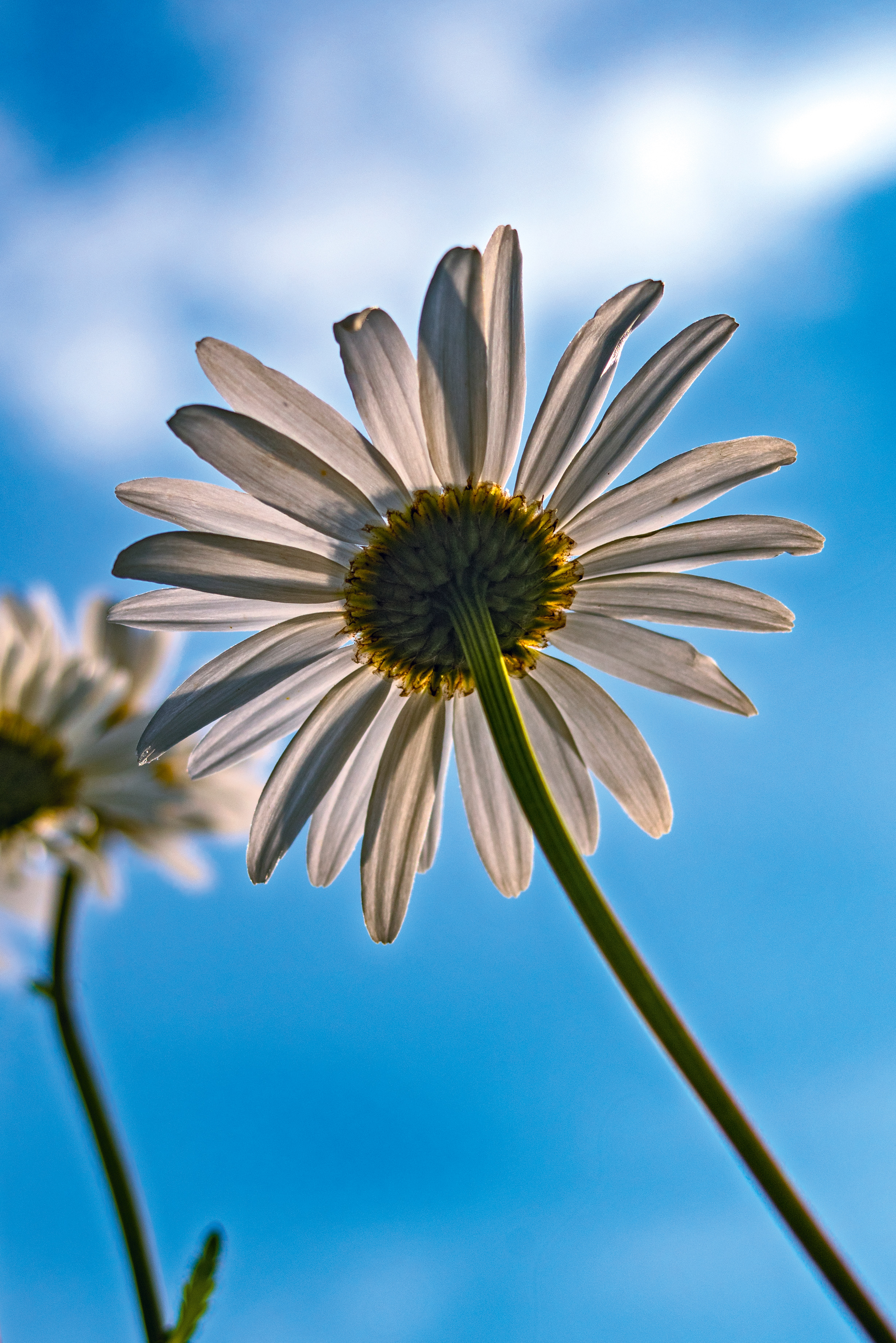 120506 download wallpaper Flowers, Chamomile, Camomile, Petals, Flower, Sky screensavers and pictures for free