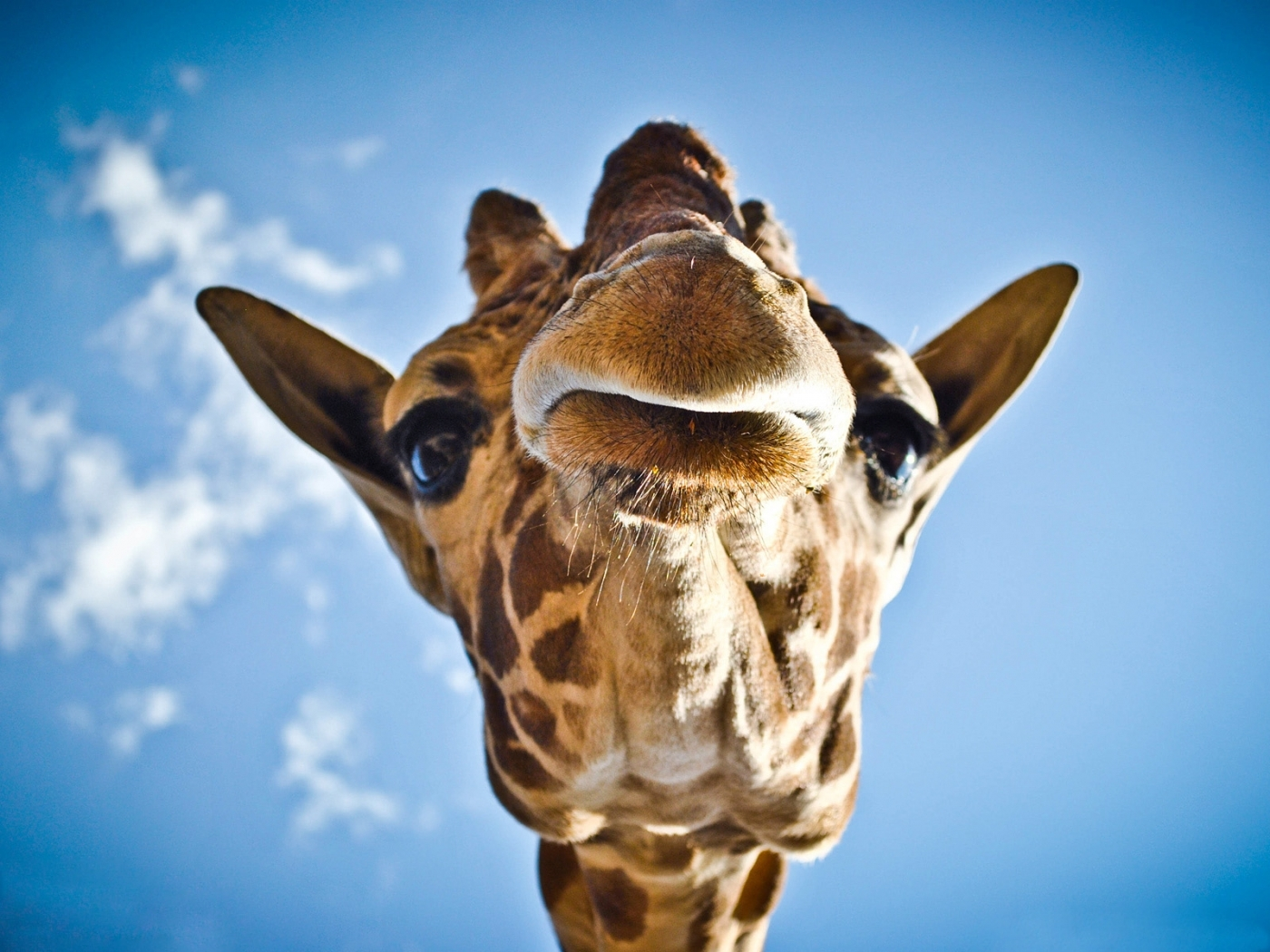 50231 download wallpaper Animals, Giraffes screensavers and pictures for free