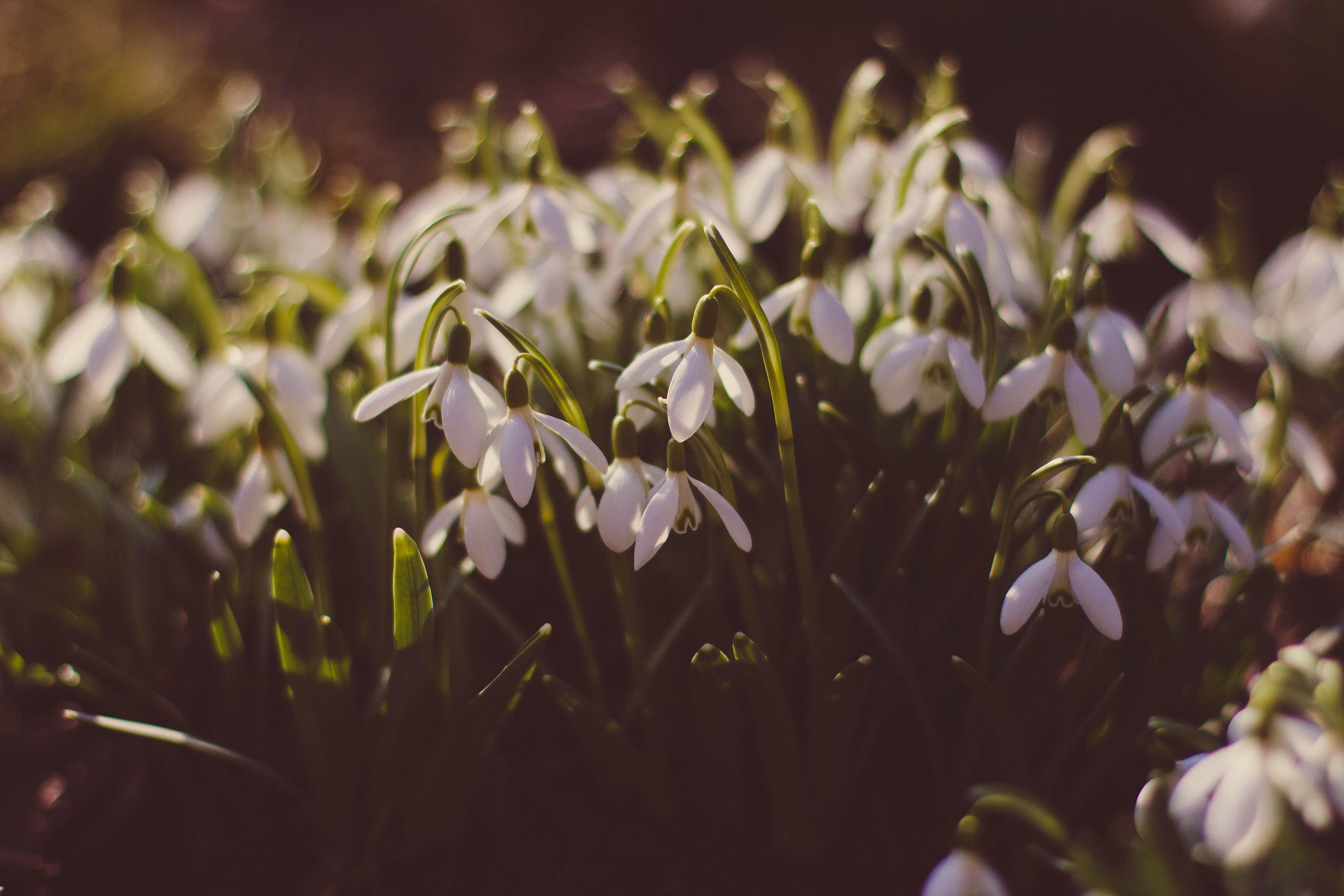 145598 Заставки и Обои Подснежники на телефон. Скачать Цветы, Подснежники, Поляна, Весна картинки бесплатно