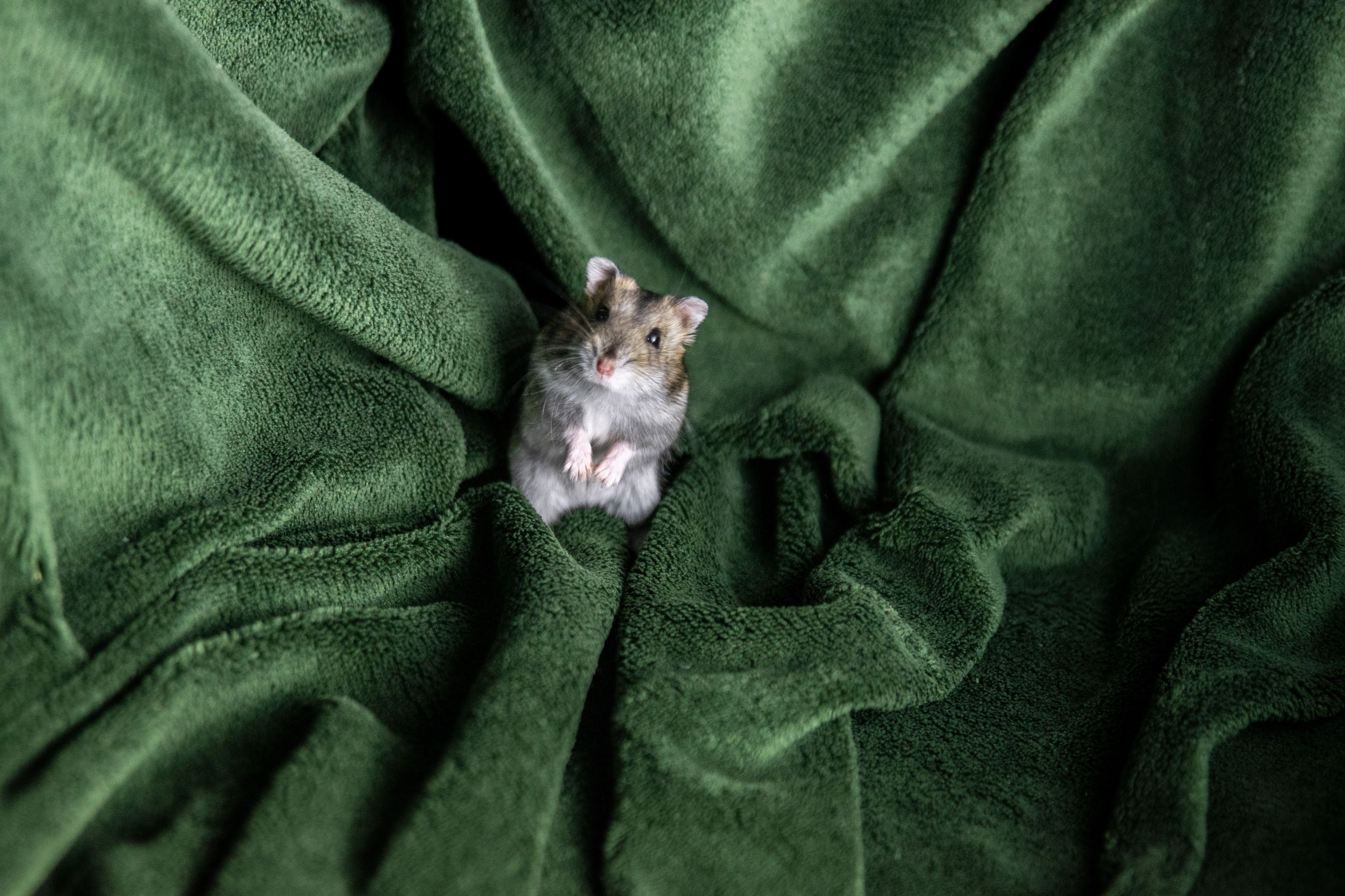 132850 download wallpaper Animals, Hamster, Rodent, Blanket, Pet screensavers and pictures for free