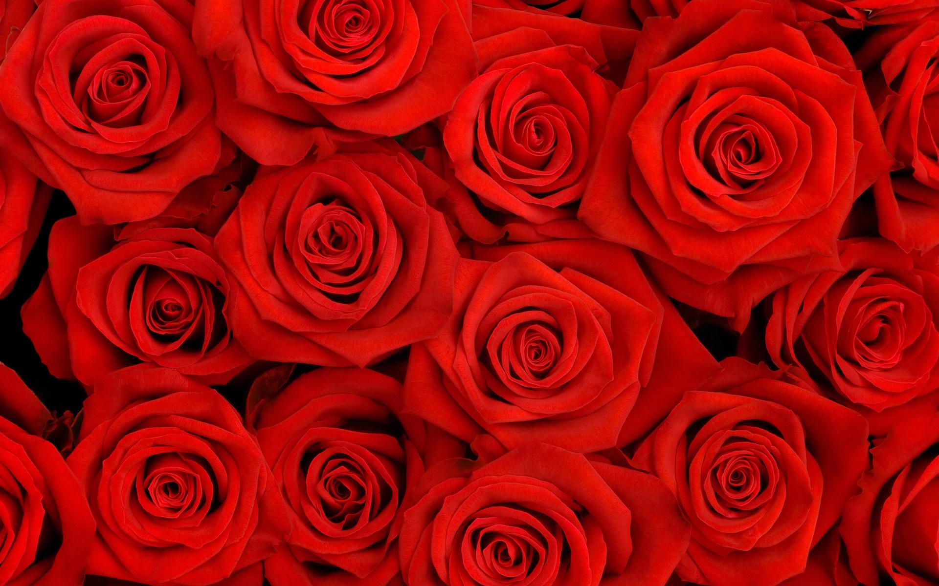 14440 Hintergrundbild herunterladen Pflanzen, Blumen, Hintergrund, Roses - Bildschirmschoner und Bilder kostenlos
