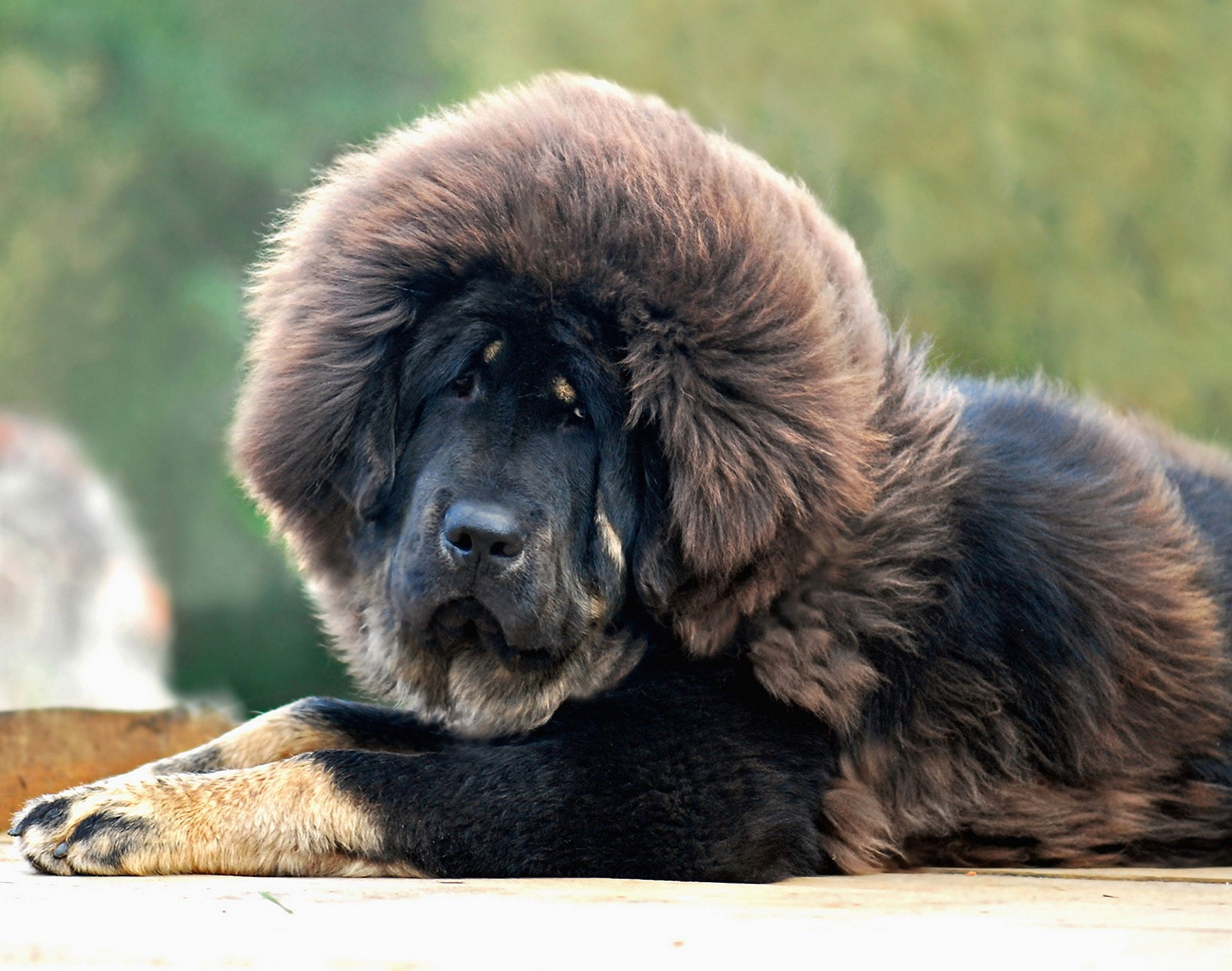 77543 Screensavers and Wallpapers Wool for phone. Download Animals, Dog, Sight, Opinion, Wool, Mastiff pictures for free
