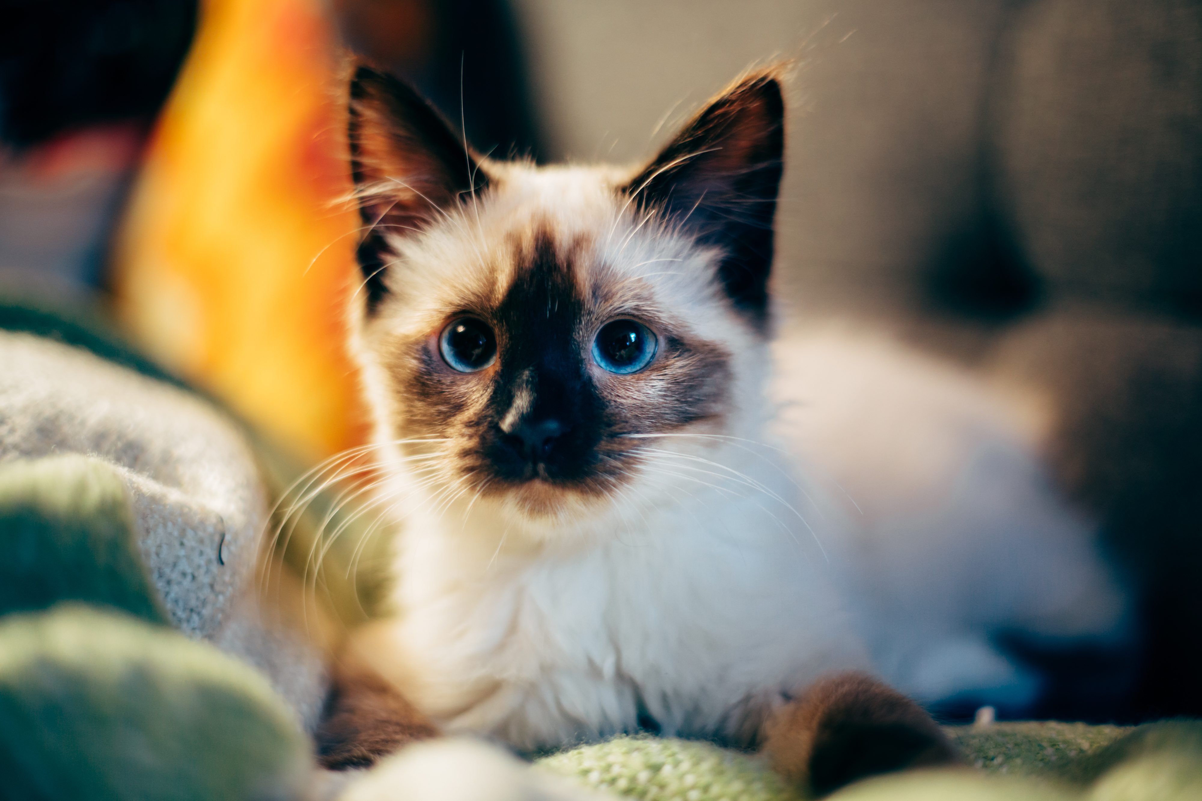 54121 download wallpaper Animals, Kitty, Kitten, Siamese, Nice, Sweetheart screensavers and pictures for free