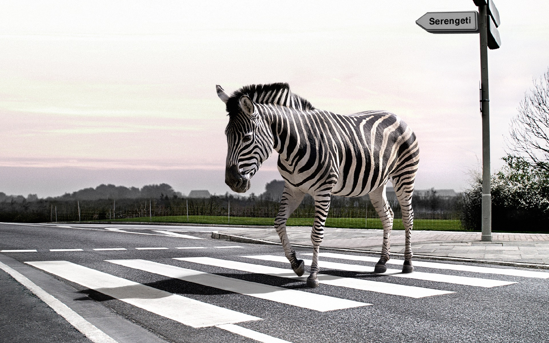 38207 download wallpaper Animals, Zebra screensavers and pictures for free