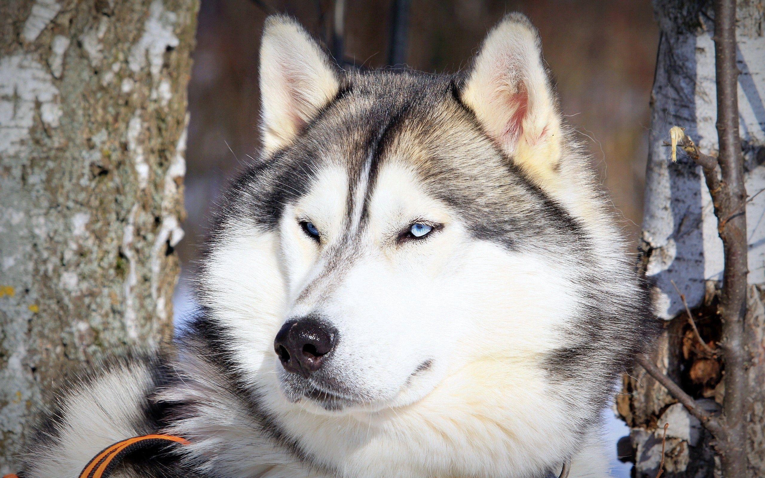 Download mobile wallpaper Animals, Dog, Muzzle, Eyes, Husky, Haska for free.