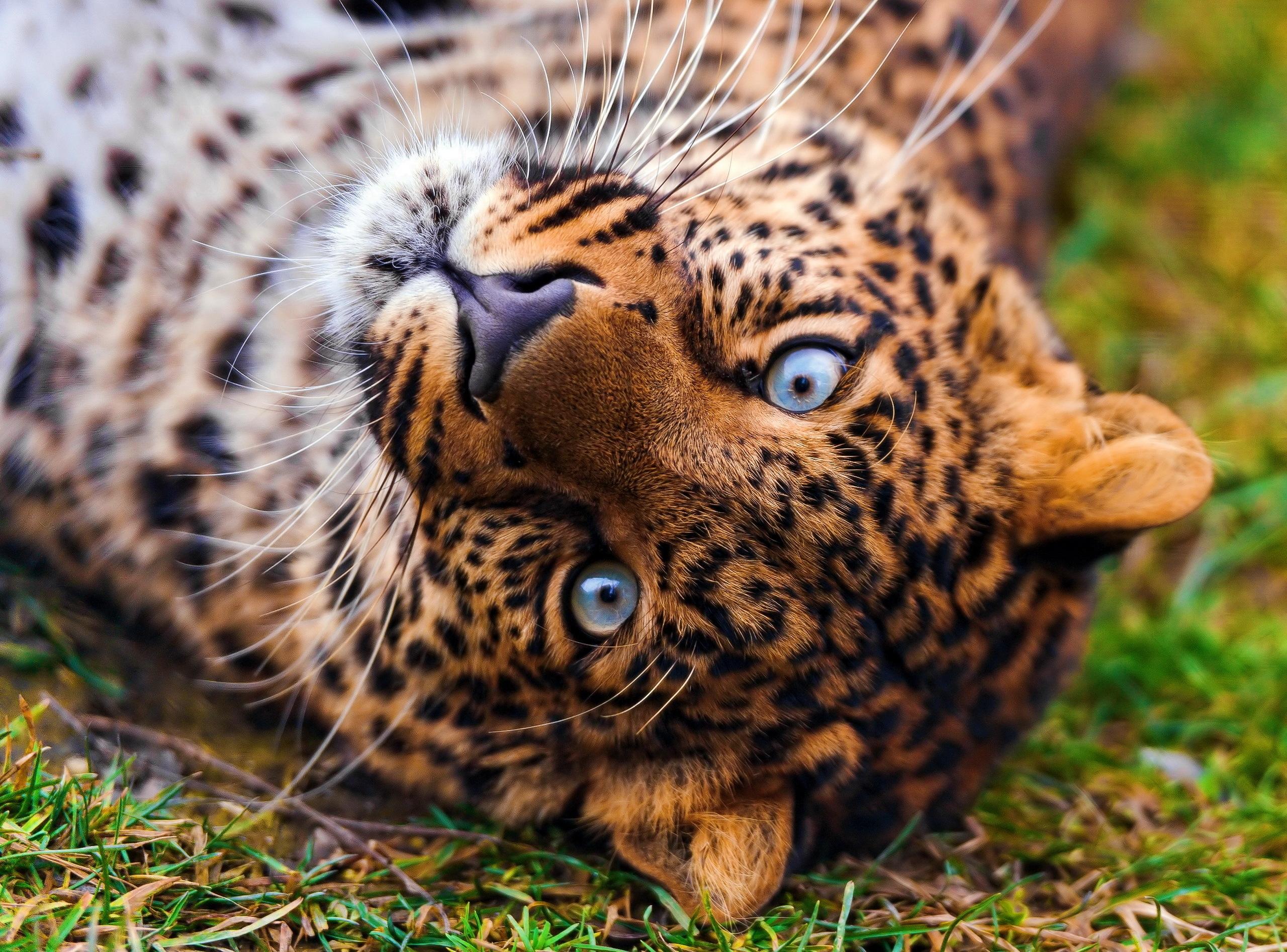 119971 обои 1080x2340 на телефон бесплатно, скачать картинки Животные, Хищник, Трава, Леопард, Лежать, Морда, Взгляд 1080x2340 на мобильный