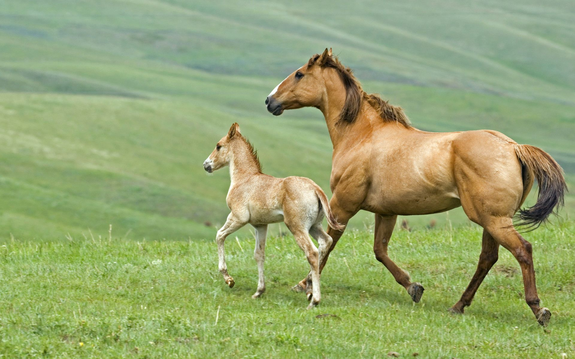 107547 download wallpaper Animals, Horse, Stallion, Grass, Couple, Pair, Stroll, Family screensavers and pictures for free