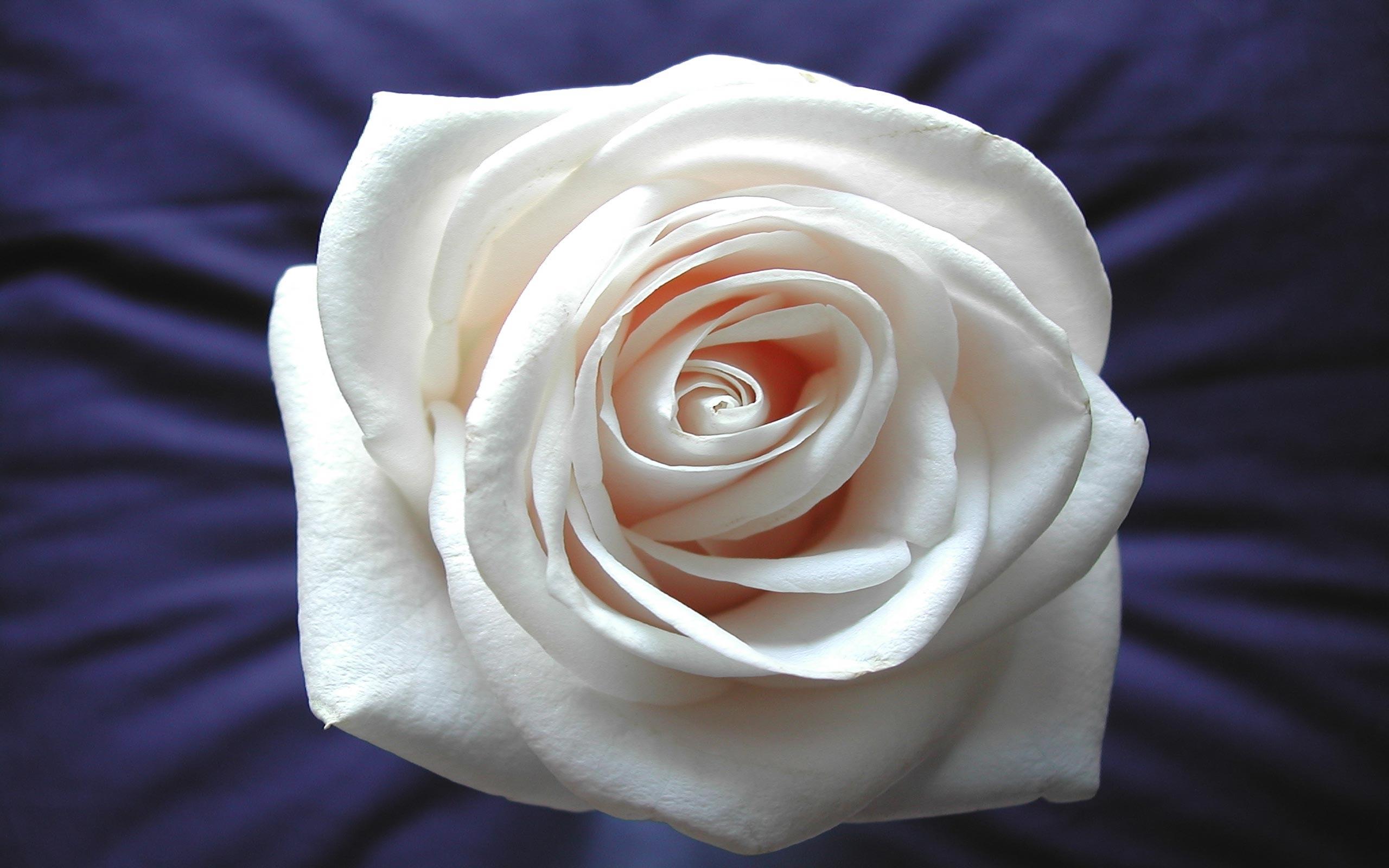 7077 скачать обои Праздники, Растения, Цветы, Розы - заставки и картинки бесплатно