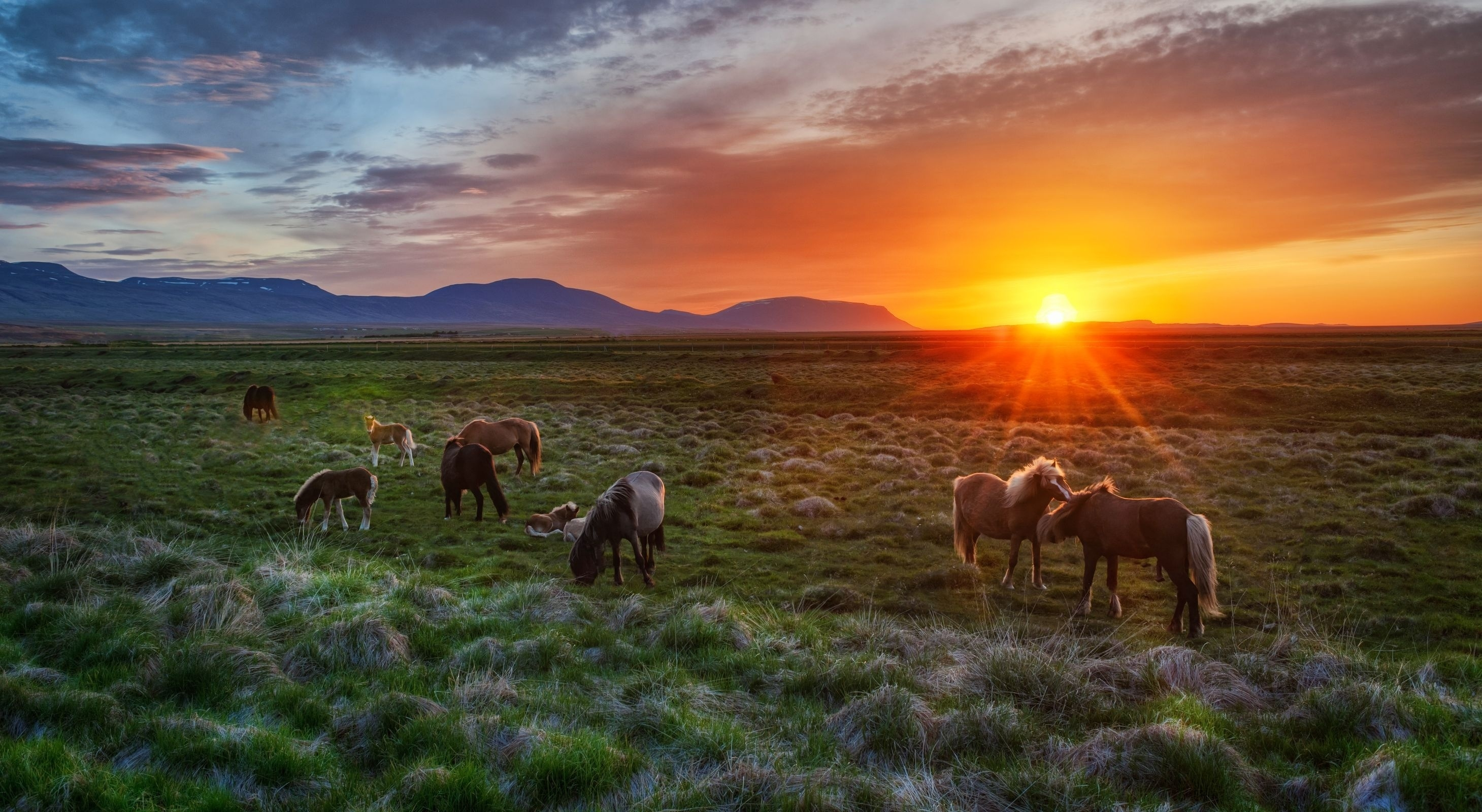 133871 download wallpaper Animals, Iceland, Sunset, Foals, Colts, Horses, Landscape screensavers and pictures for free